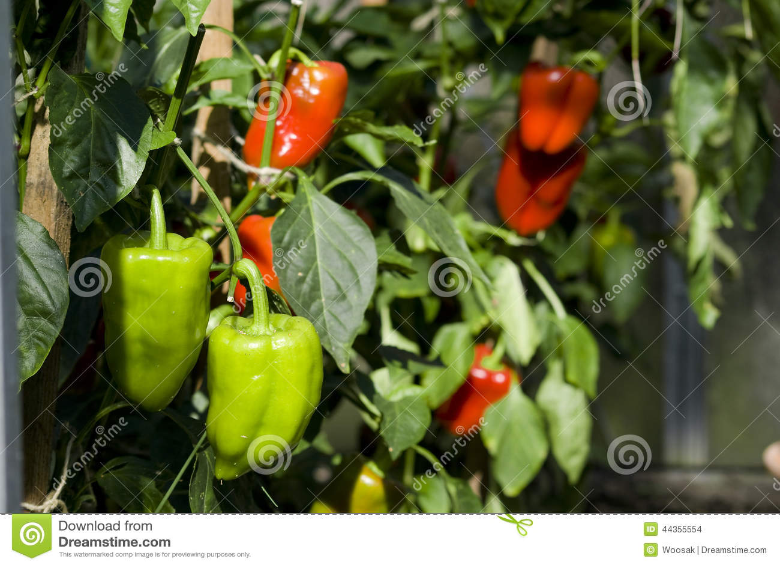 Verde e peperone