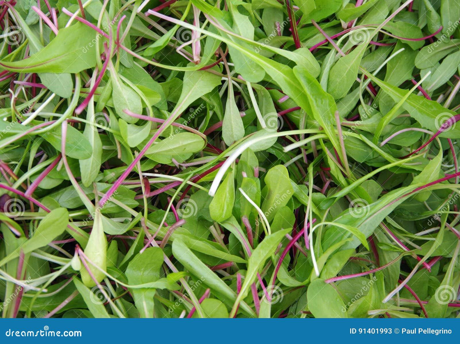 Verdes frescos de la ensalada del corte