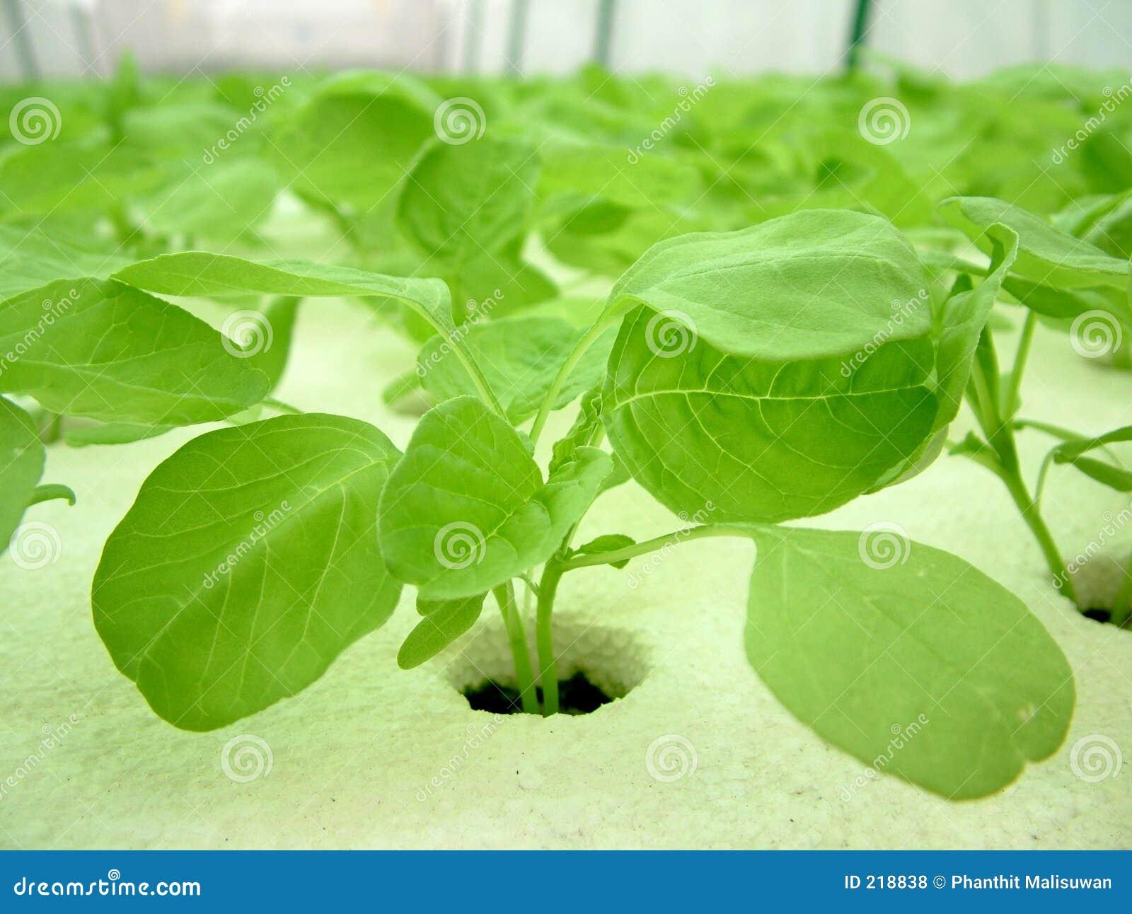 Verdura, coltura idroponica