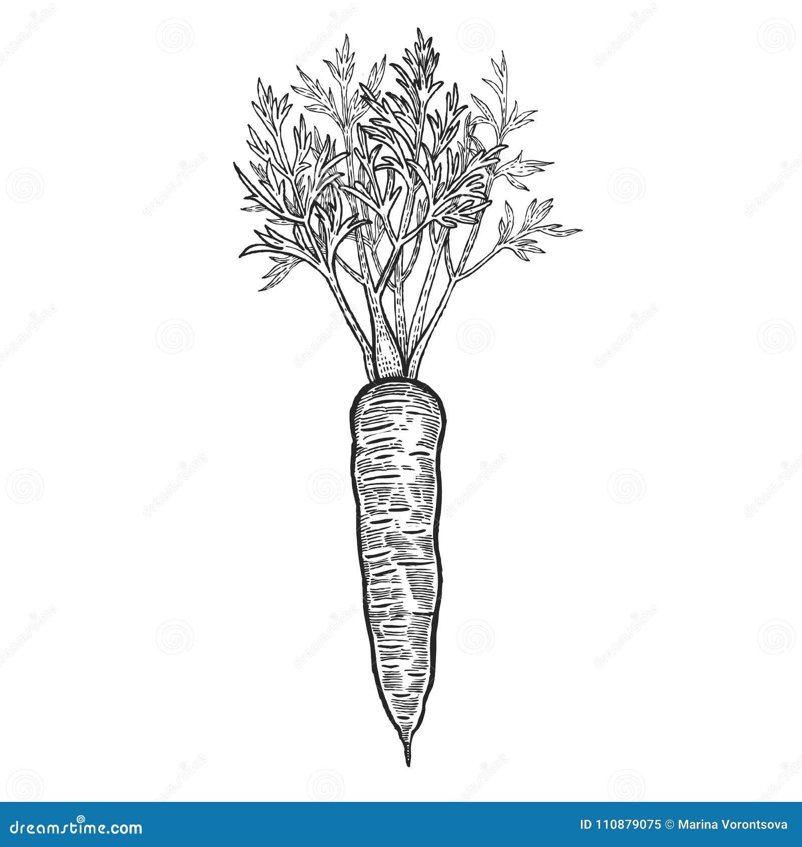 Verdura De La Zanahoria Del Dibujo De La Mano Ilustracion Del Vector Ilustracion De Mano Zanahoria 110879075 Aprende a dibujar una zanahoria a lápiz (+ colorear). https es dreamstime com verdura de la zanahoria del dibujo mano image110879075