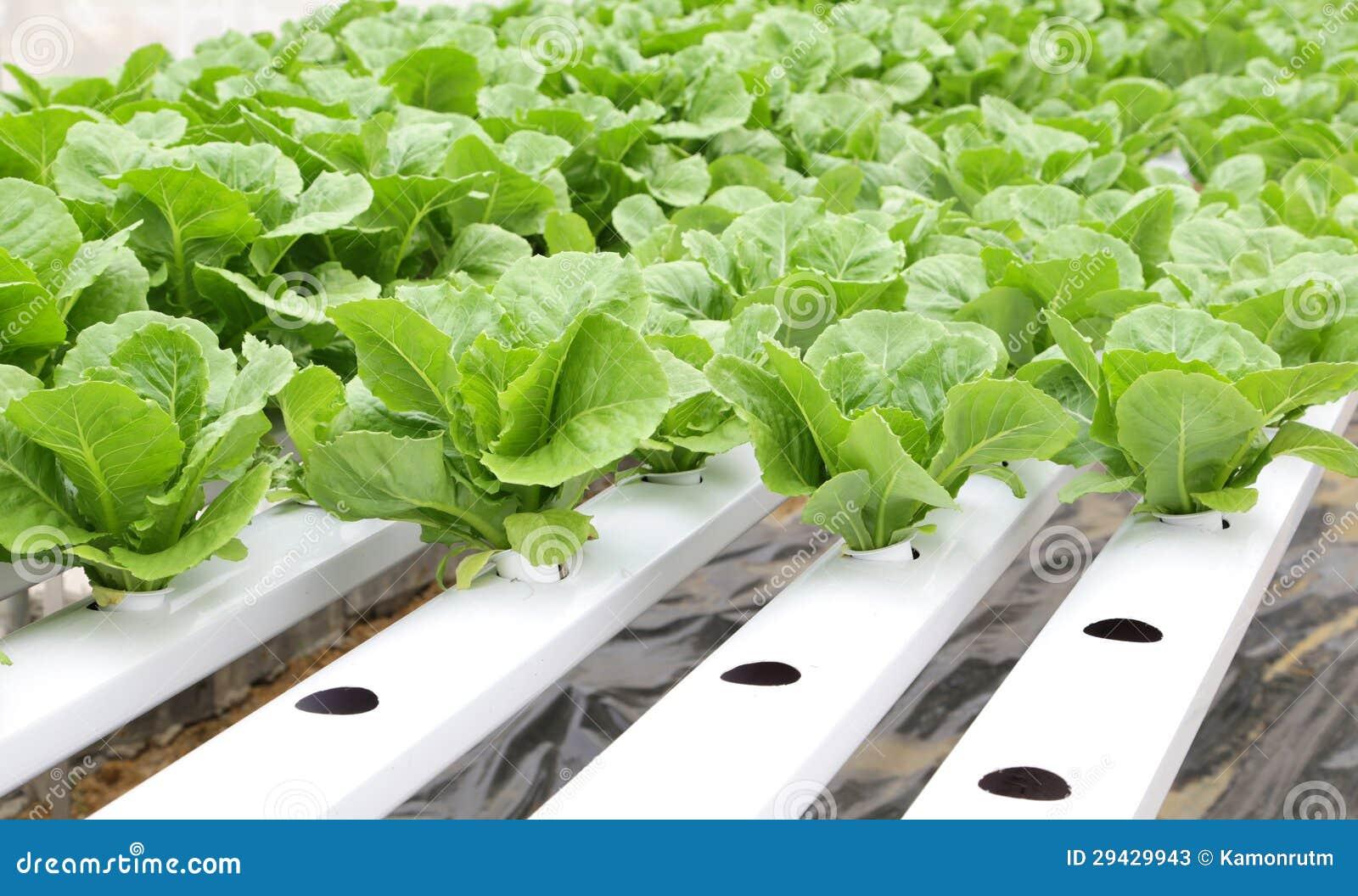 verdura hidrop nica lechuga romana verde imagen de