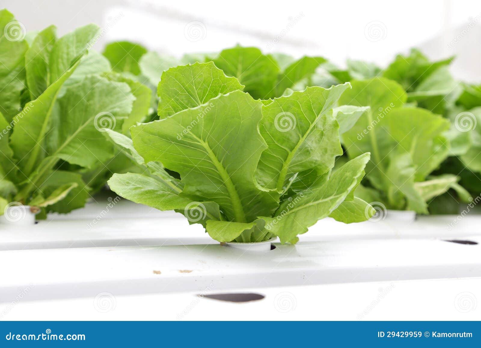 verdura hidrop nica lechuga romana verde im genes de