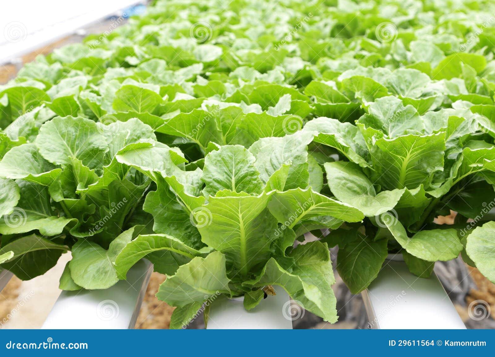 verdura hidrop nica lechuga romana verde en granja
