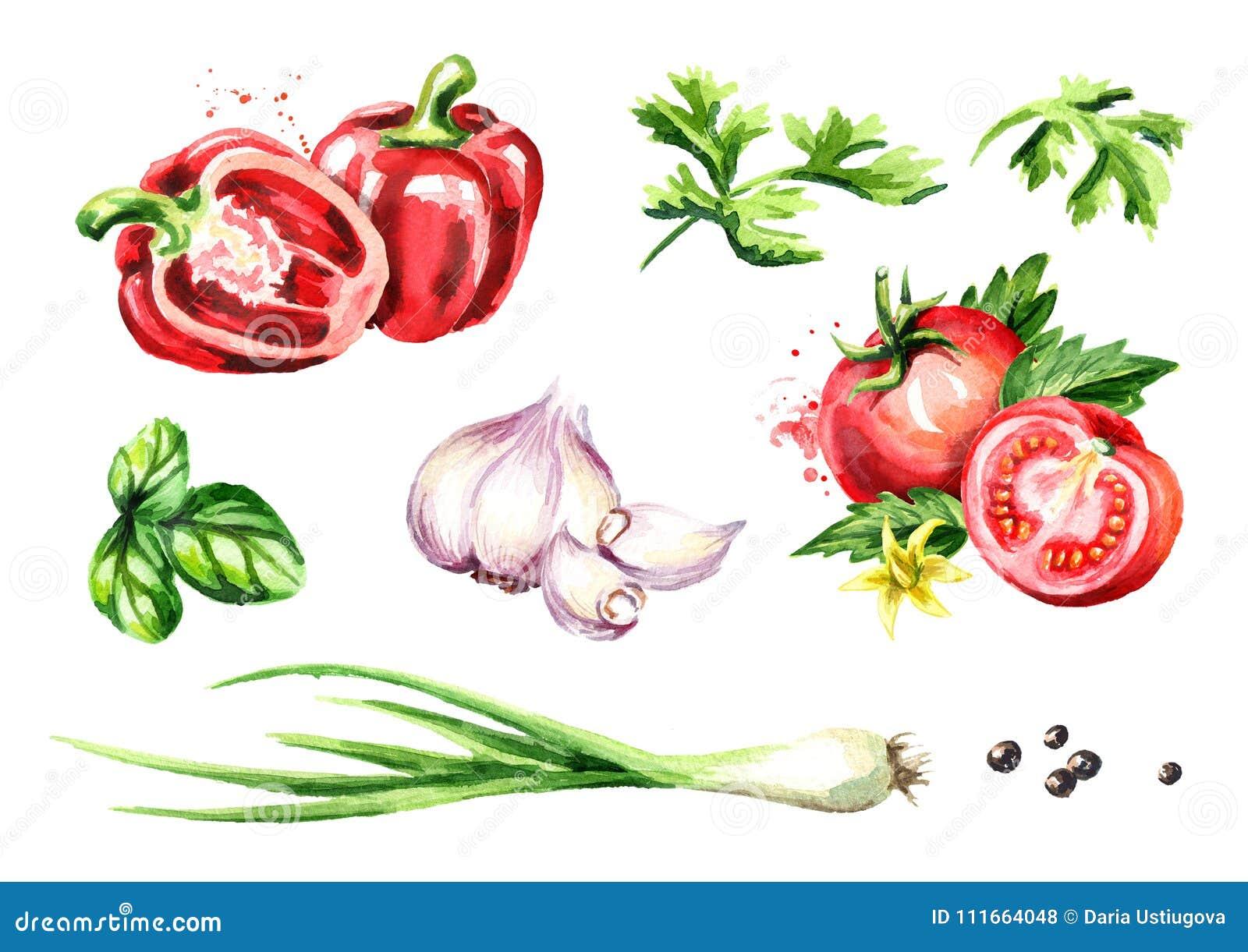 Verduras frescas e hierbas fijadas Ejemplo dibujado mano de la acuarela, aislado en el fondo blanco