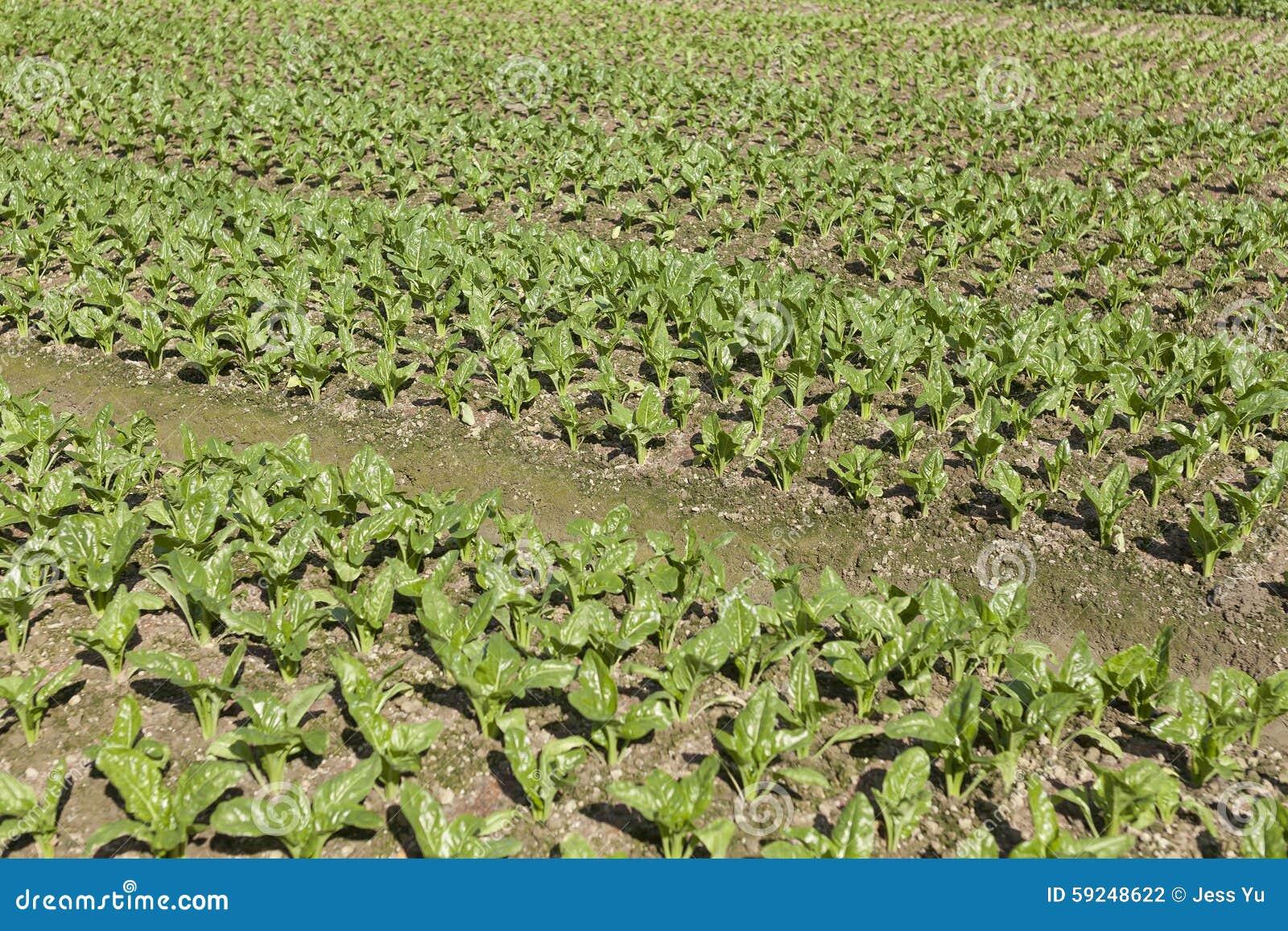 Verduras frescas en tierras de labrantío