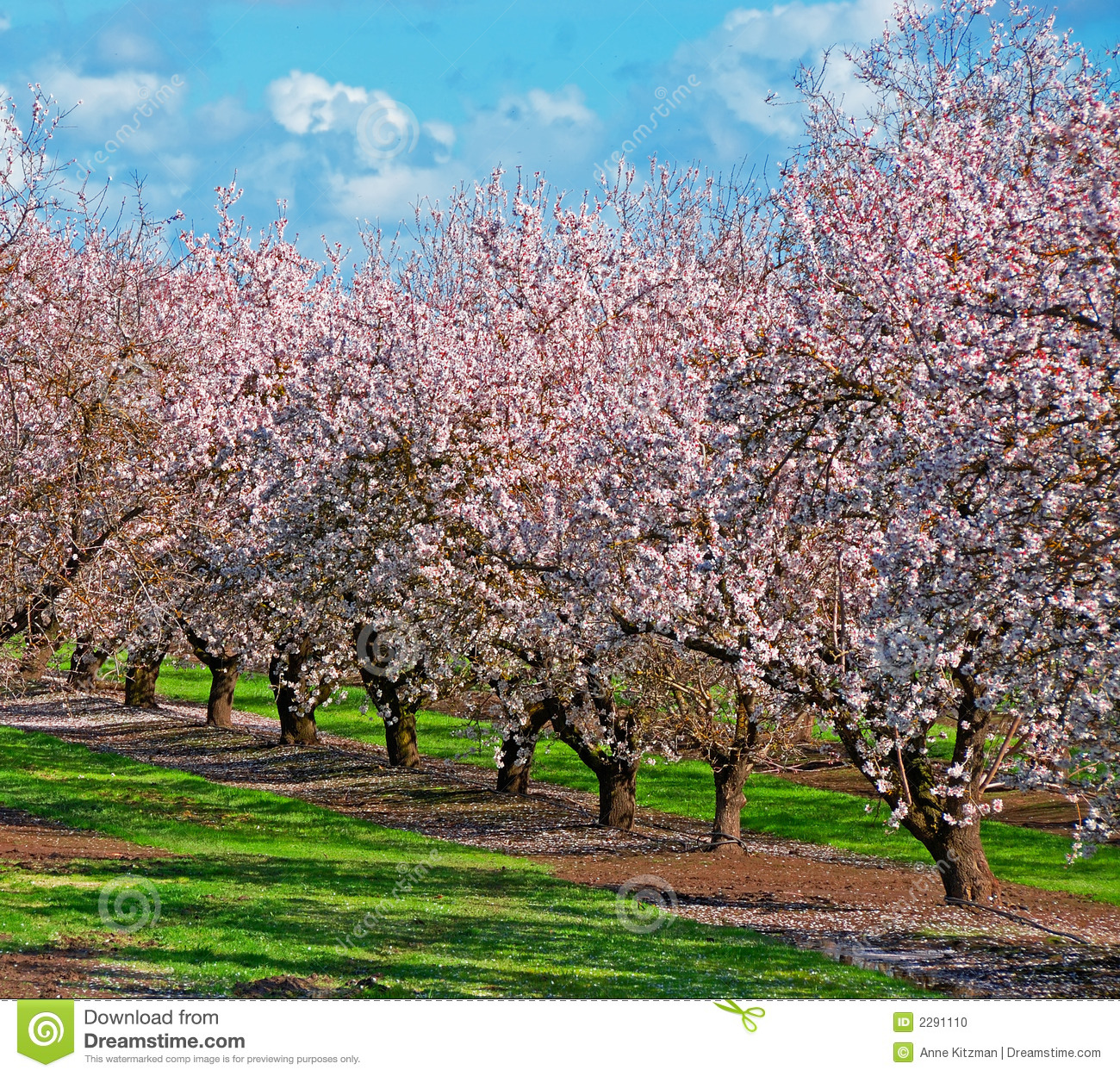Verger d 39 arbre fruitier photo stock image 2291110 for Arbre fruitier