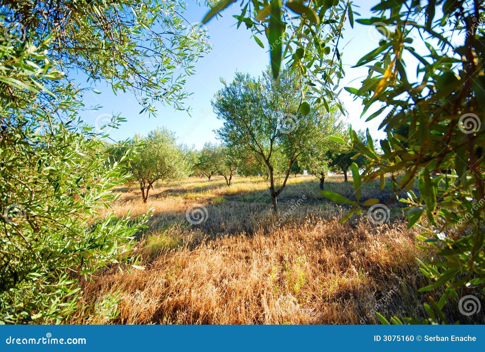 Verger d olivier