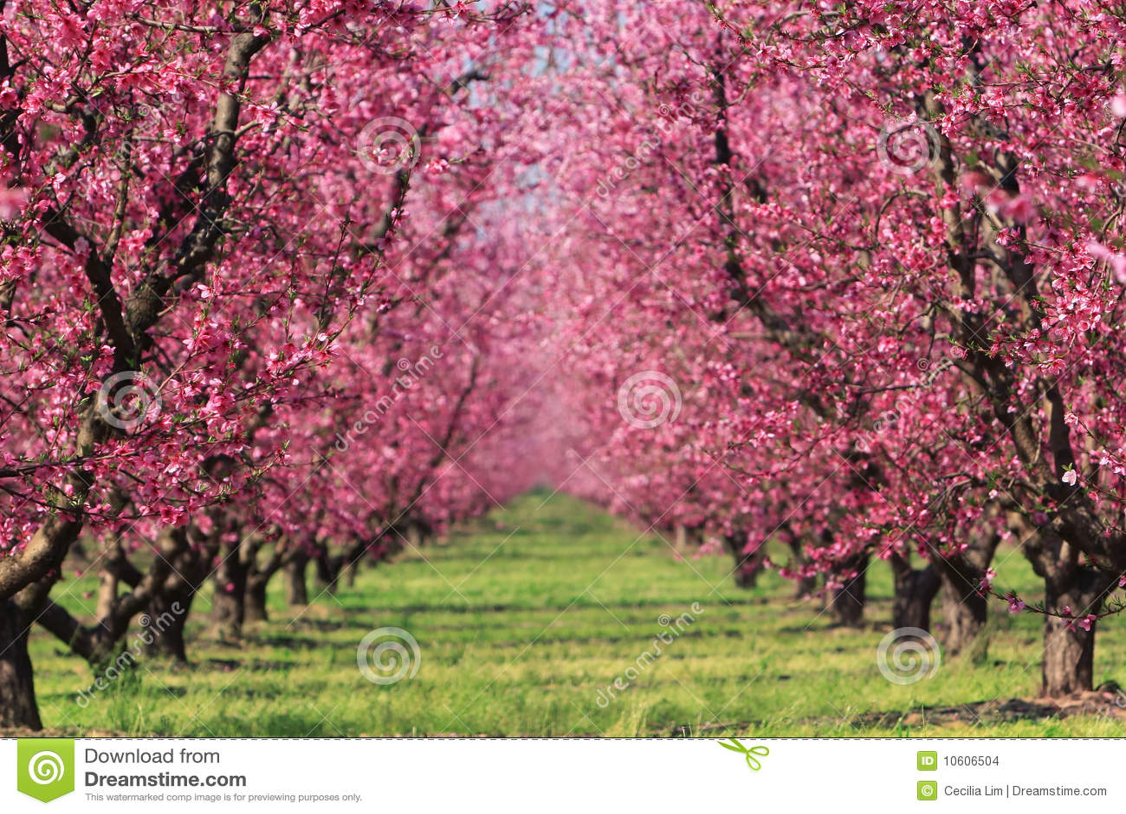 Verger de cerise au printemps