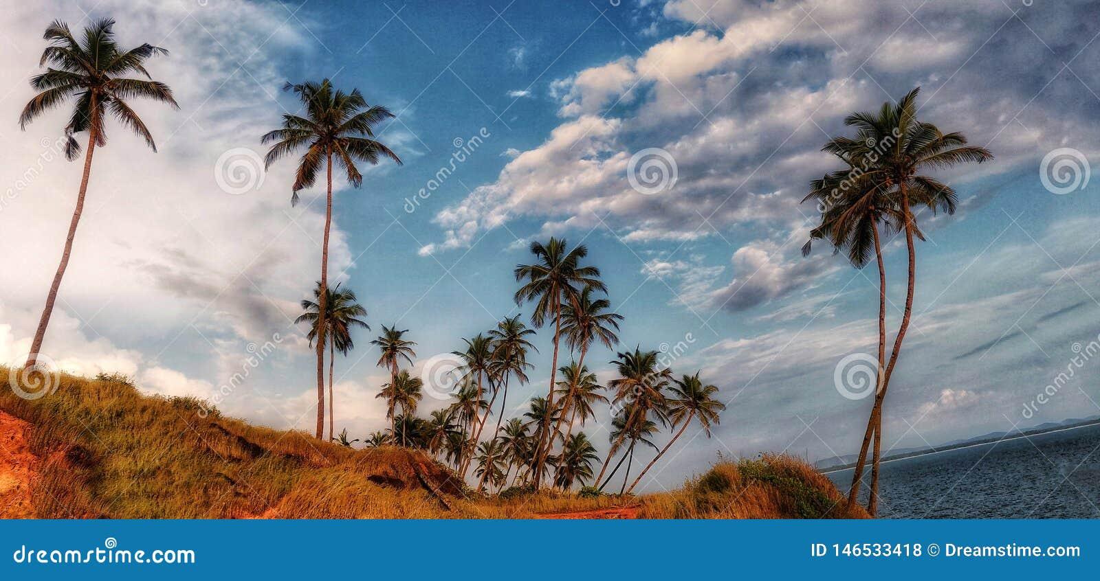 Verger de noix de coco dans le bord de mer sous le ciel nuageux blanc et bleu