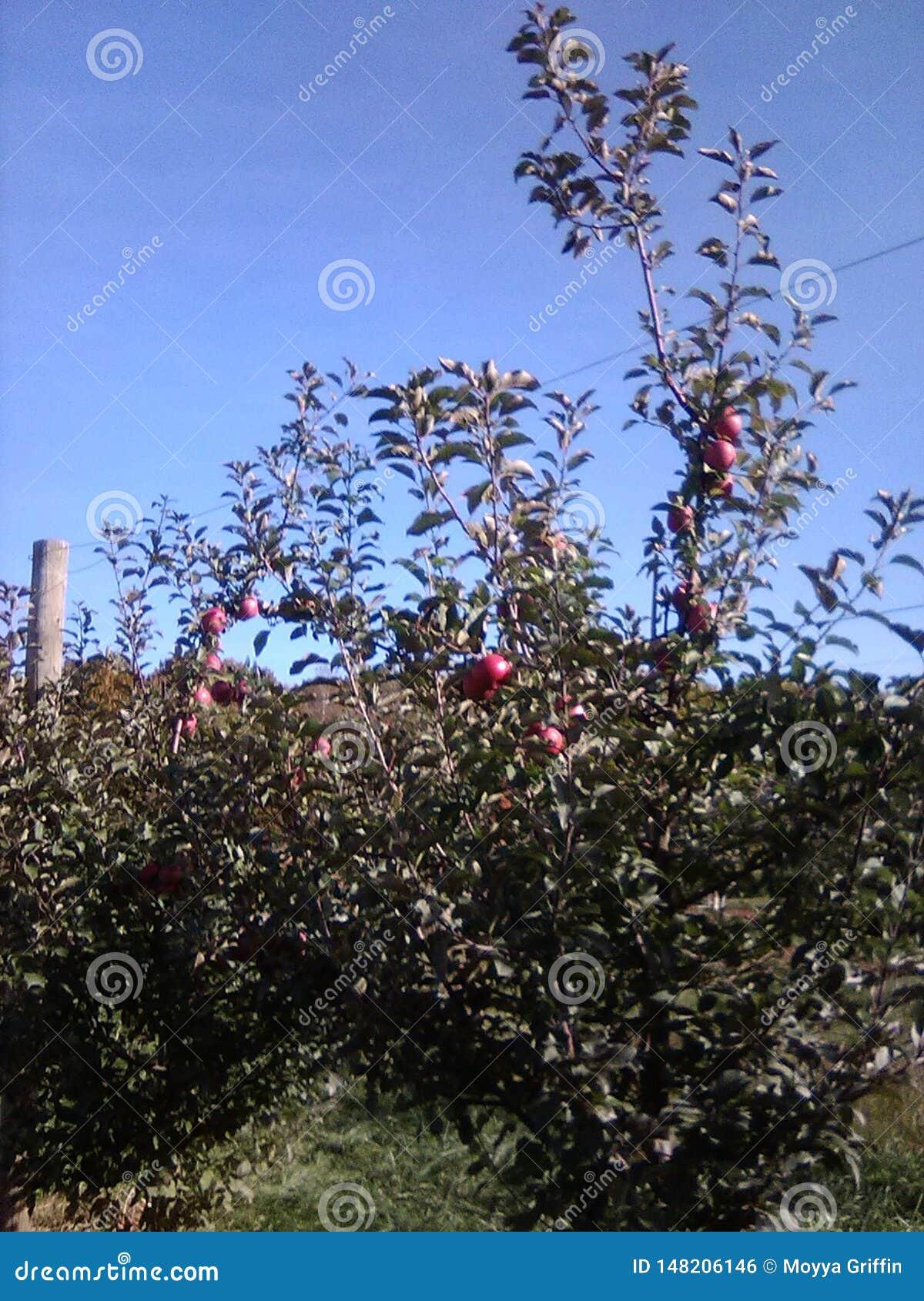 Verger des pommes