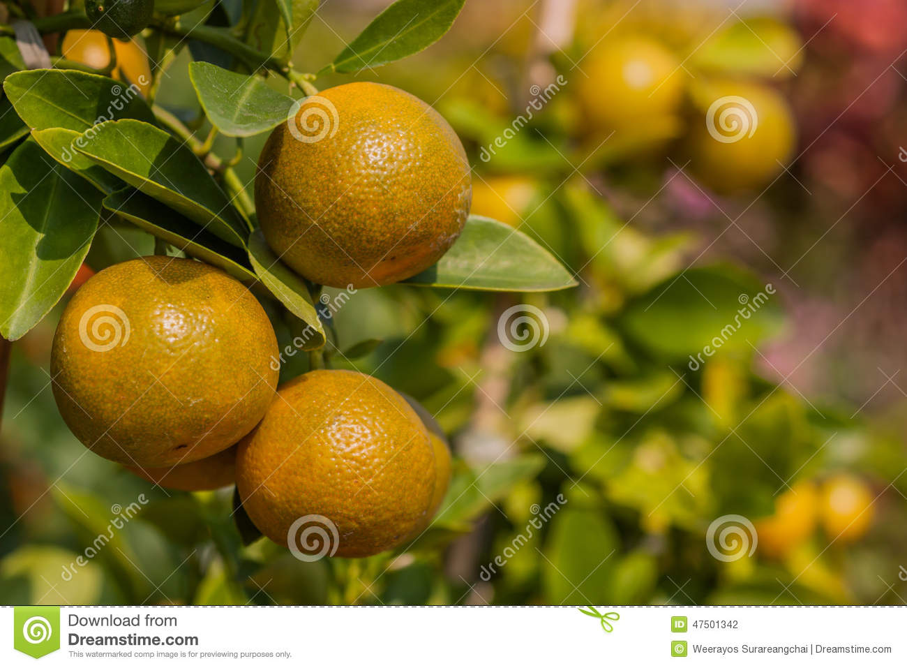 Verger Orange Darbre Fruitier Photo Stock Image Du Vert Exotique