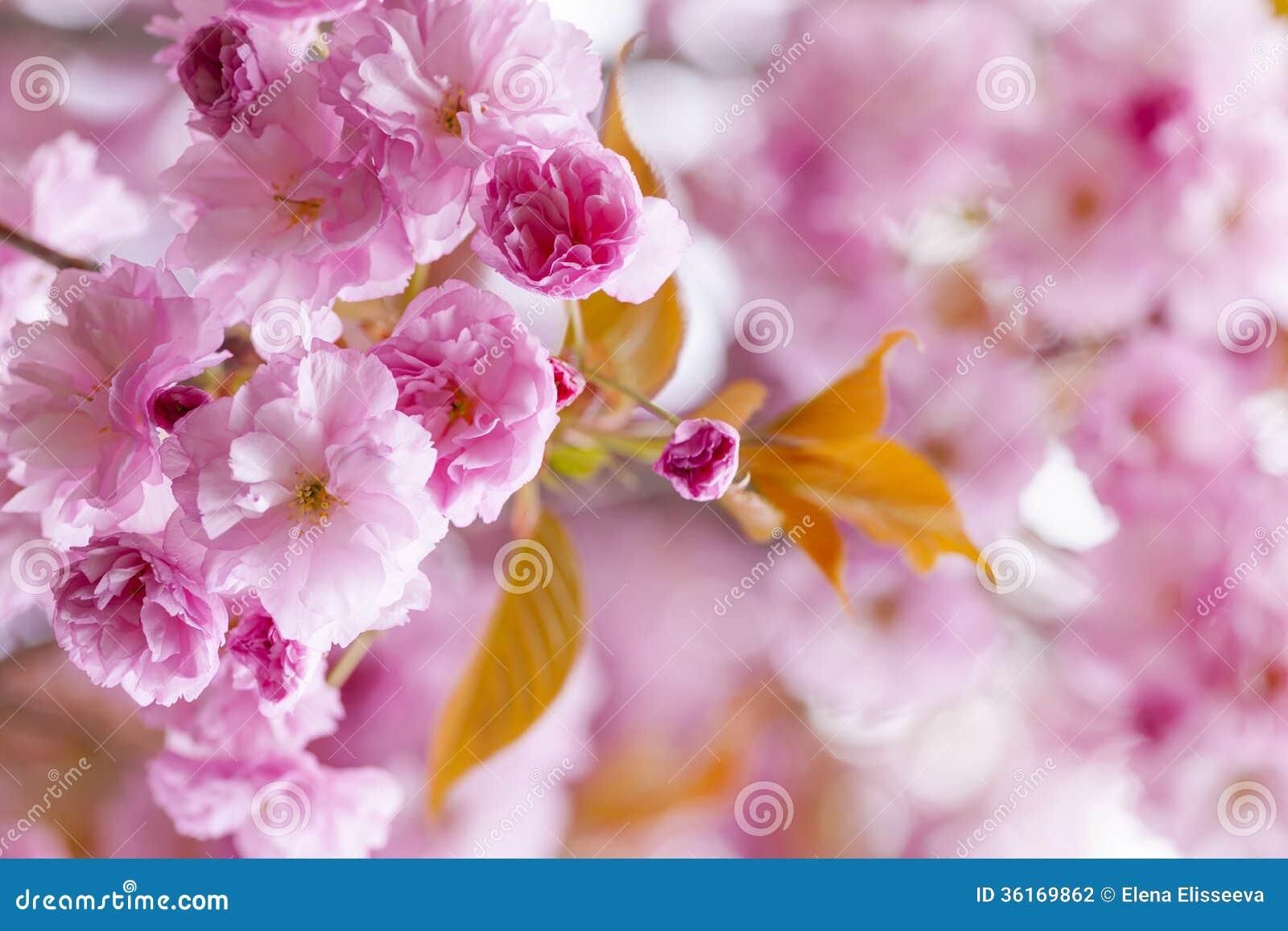 Verger rose de fleurs de cerisier au printemps photo stock - Fleurs roses de printemps ...
