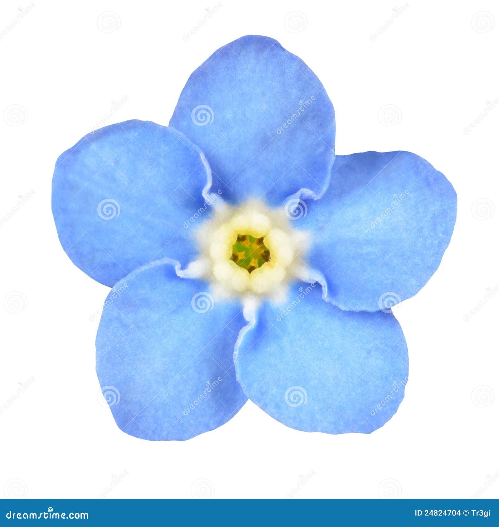 vergissmeinnicht blaue blume getrennt auf wei stockfoto bild von frech nave 24824704. Black Bedroom Furniture Sets. Home Design Ideas