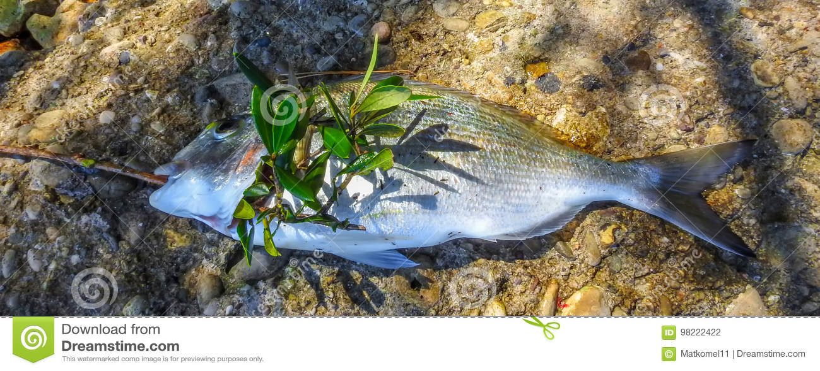 Vergoldungsgegenseebrachsenfische 2