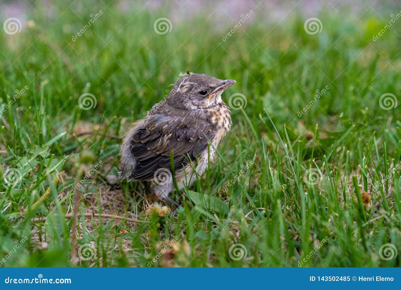 Verlaten vogel op groen gras die moeder zoeken in Helsinki