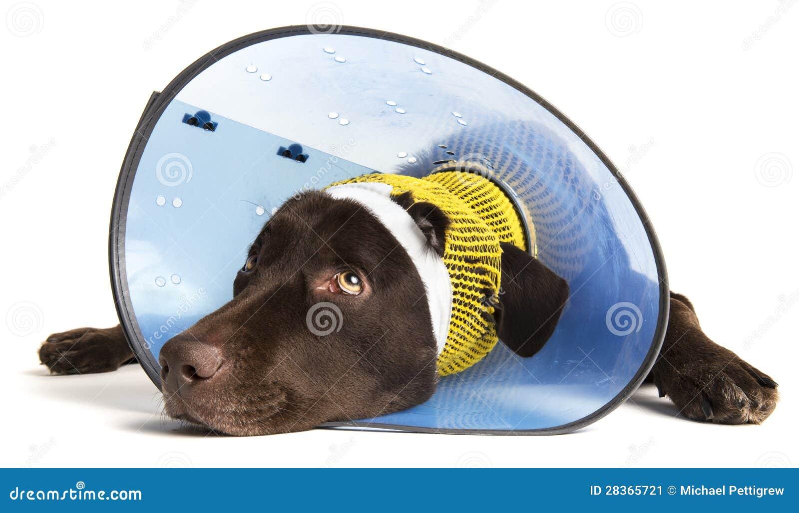 Verletzter Hund mit Kegel