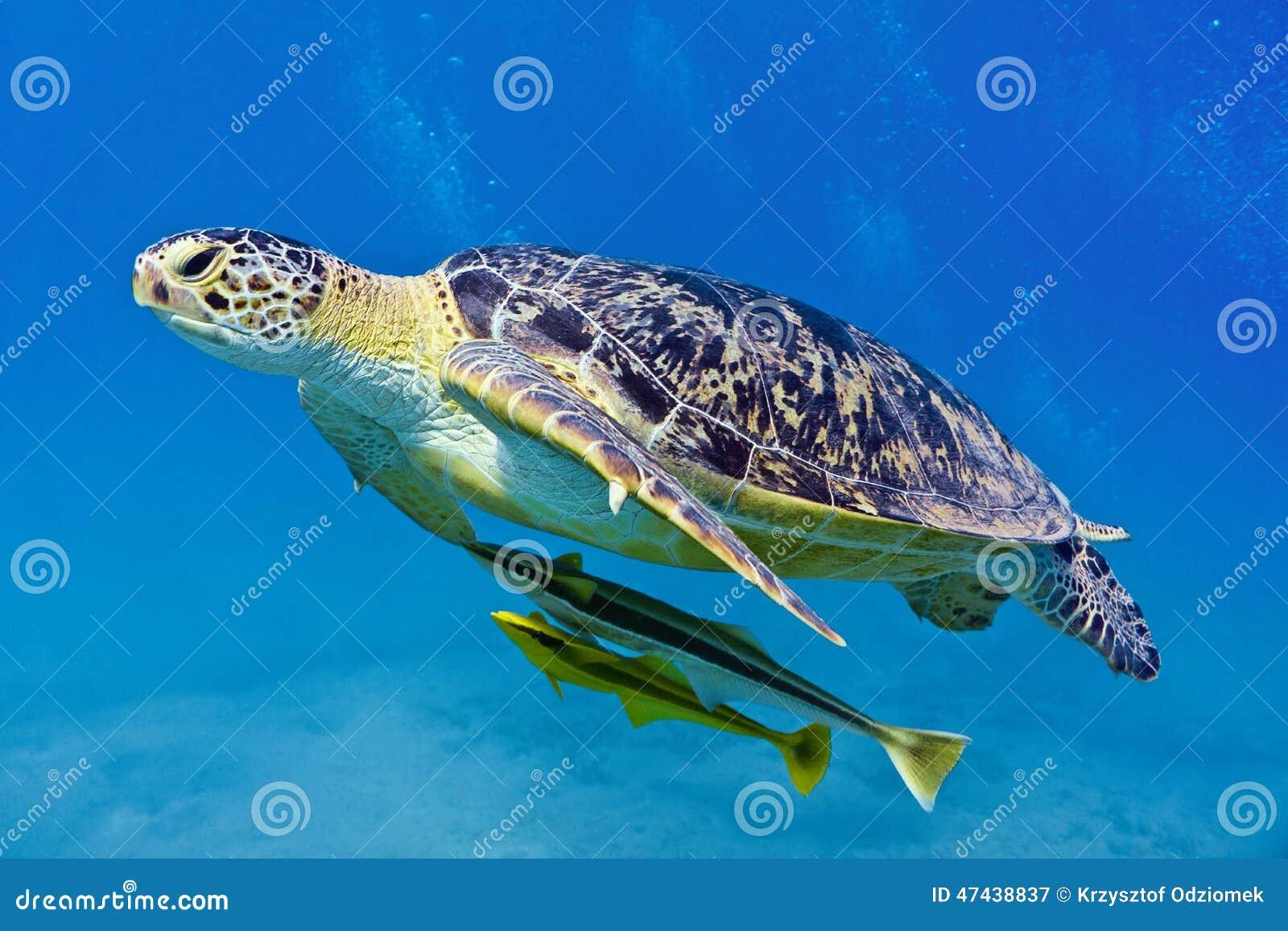Vermelha χελωνών θάλασσας νησιών coroa Bahia Βραζιλία