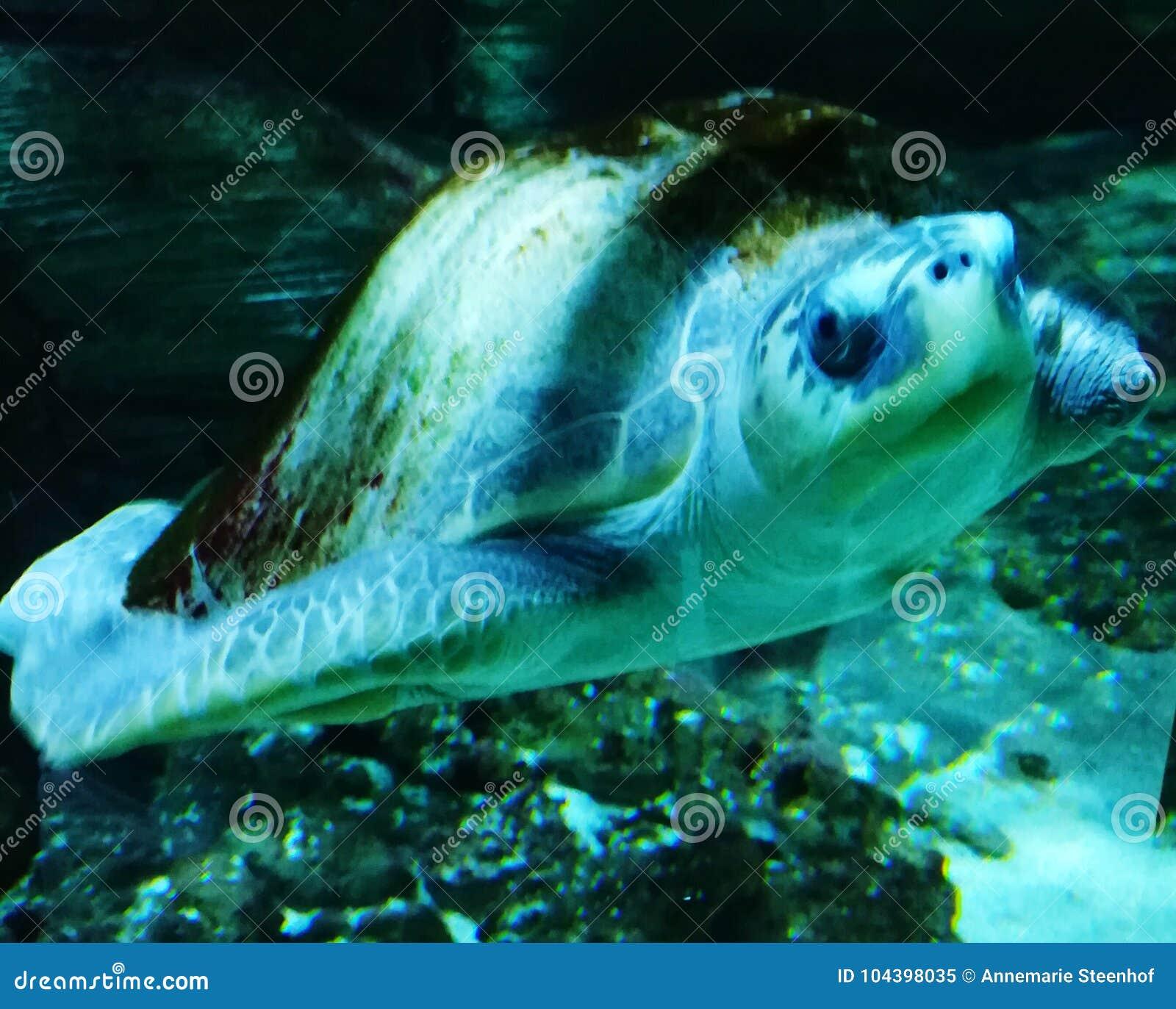 Vermelha черепахи моря острова coroa Бахи Бразилии