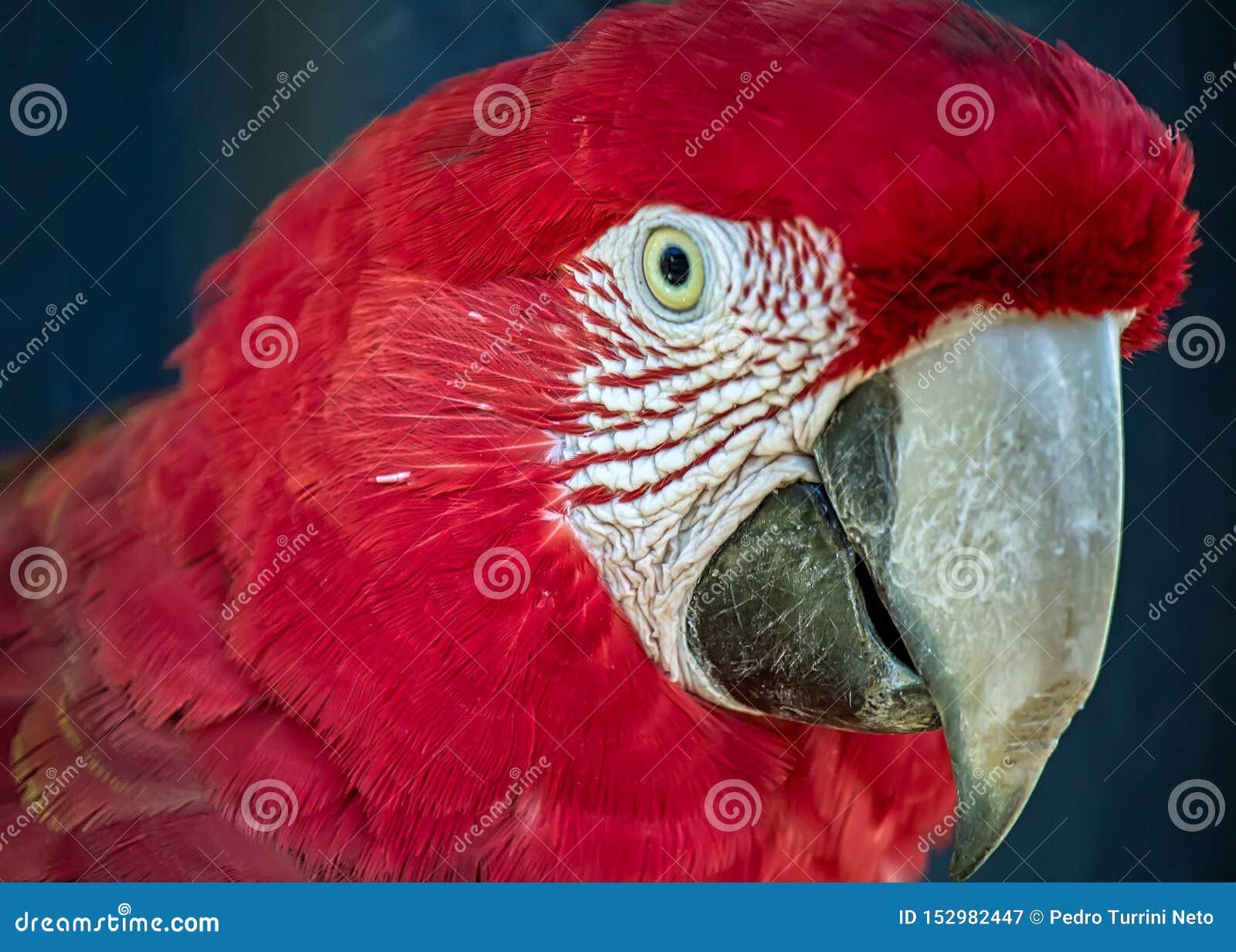 Vermelha vermelho de Arara da arara aka, pássaro brasileiro exótico - foto da cabeça de uma arara vermelha no close up
