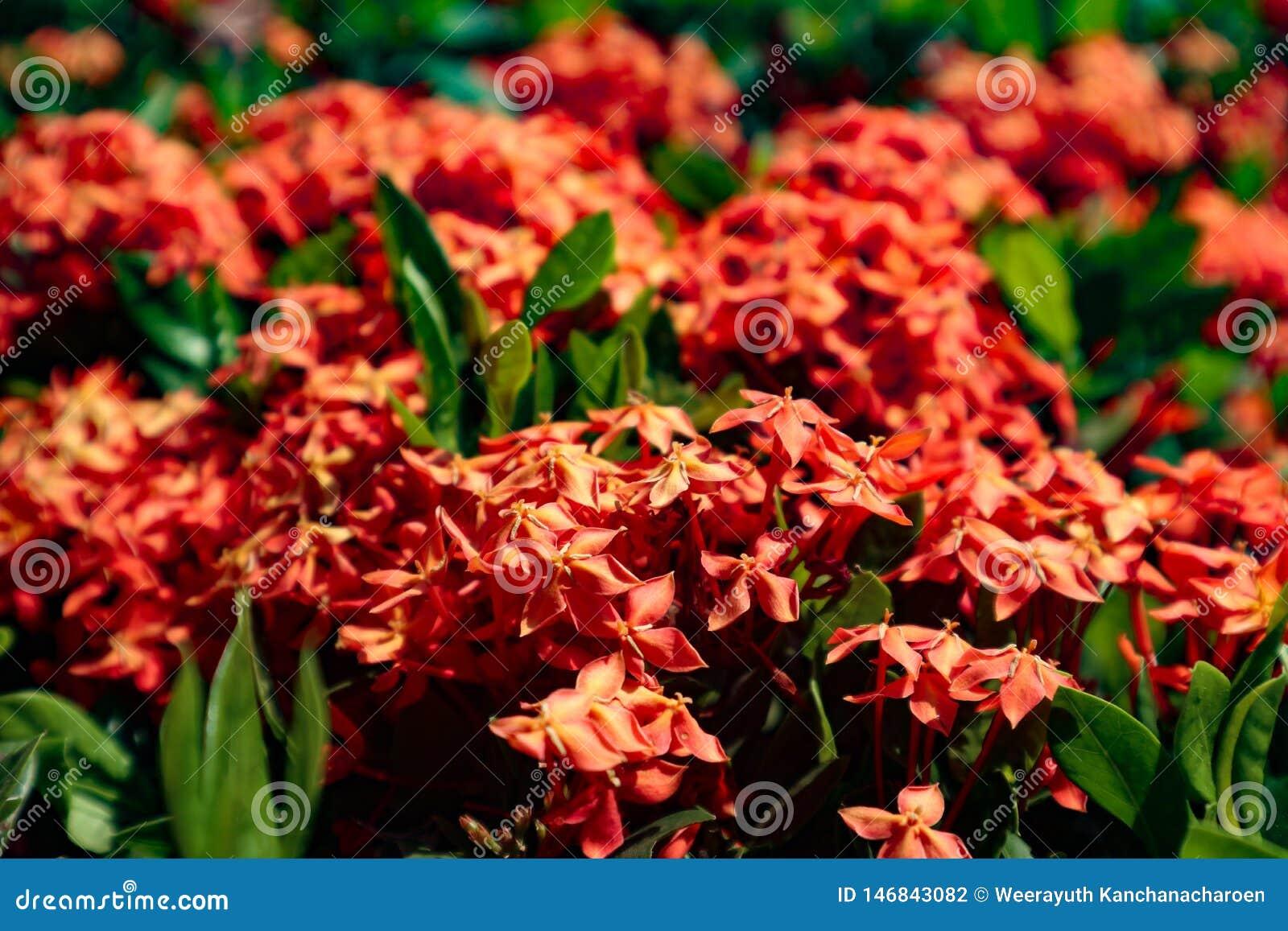 Vermelho amarelo roxo do close up bonito e flores alaranjadas da cor nos parques verdes exteriores