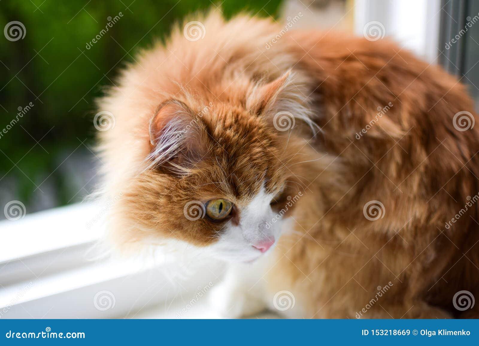 Vermelho atento e cuidadoso com o gato macio branco que senta-se em uma soleira branca