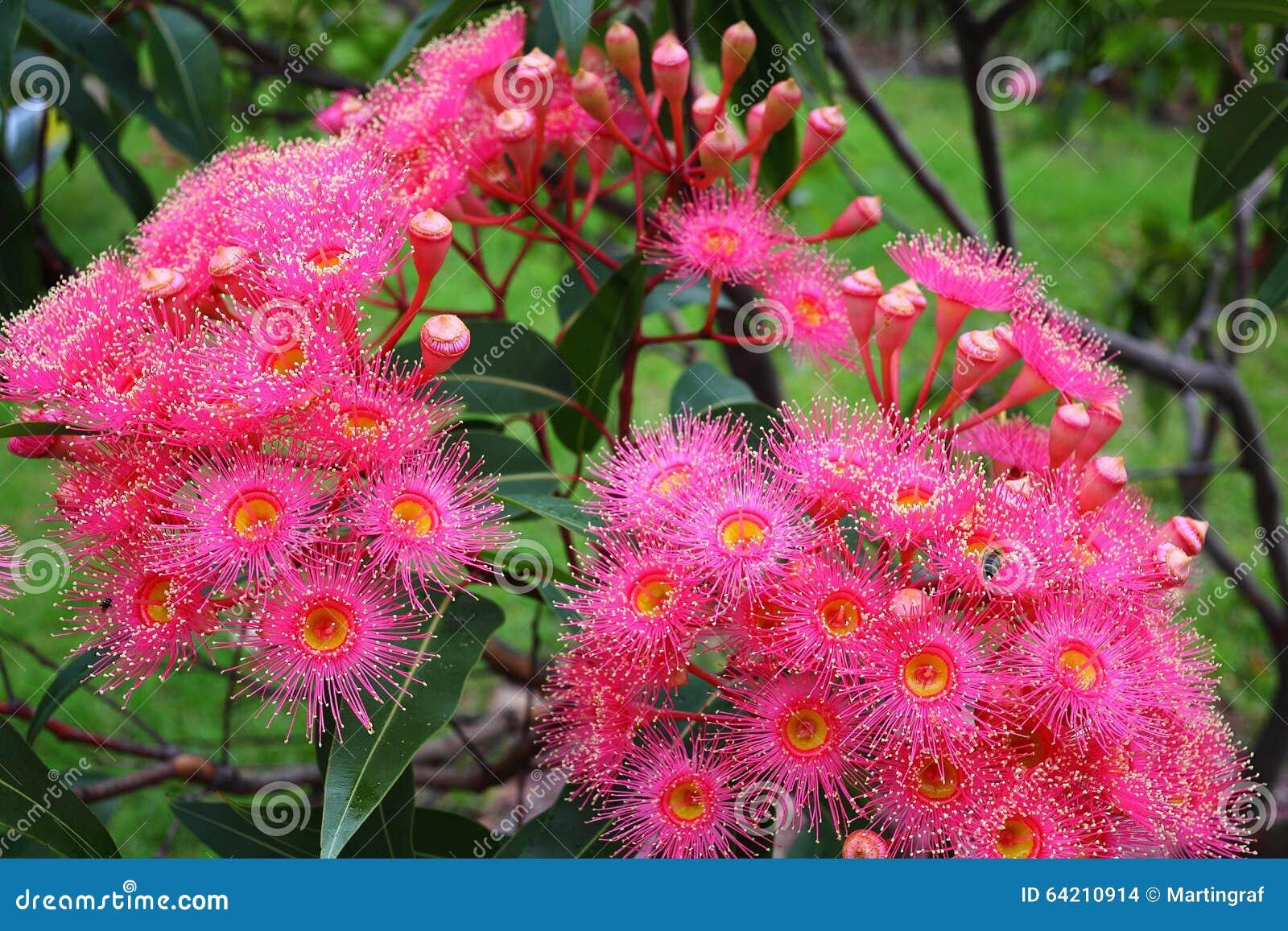 Vermelho de florescência do verão de Corymbia