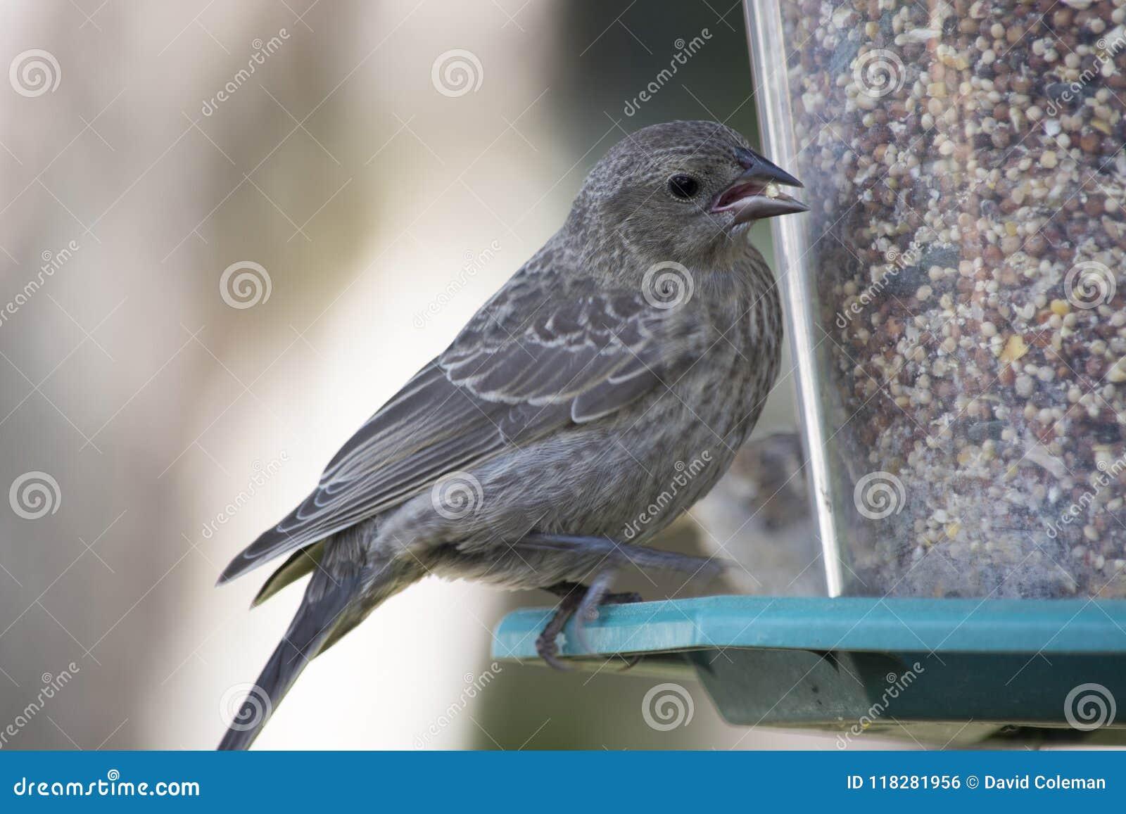 Vermelho juvenil melro voado no alimentador