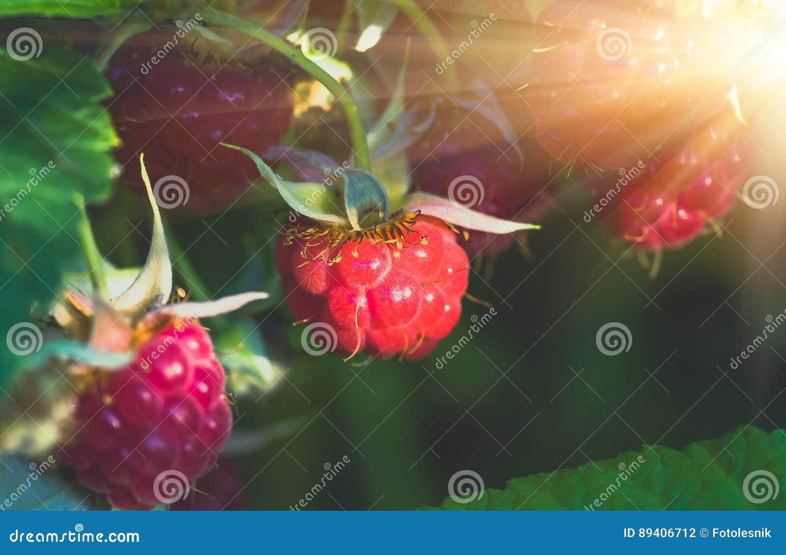 Vermelho maduro no arbusto, fundo das framboesas