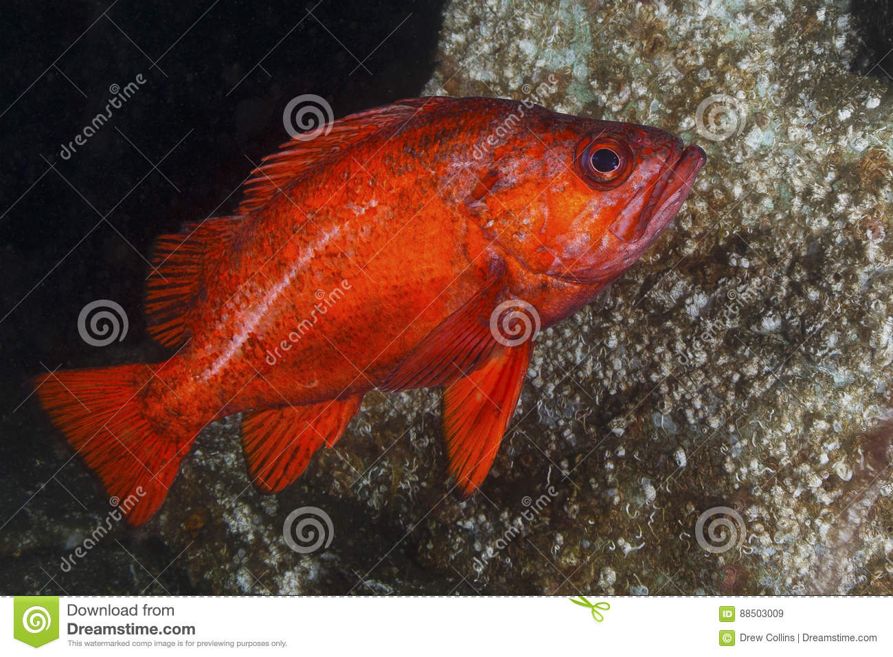 Vermilion Rockfish stock image. Image of colorful, seattle - 88503009