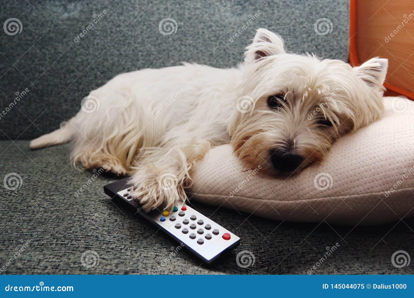 Vermoeide wstie hond met een ver controlemechanisme