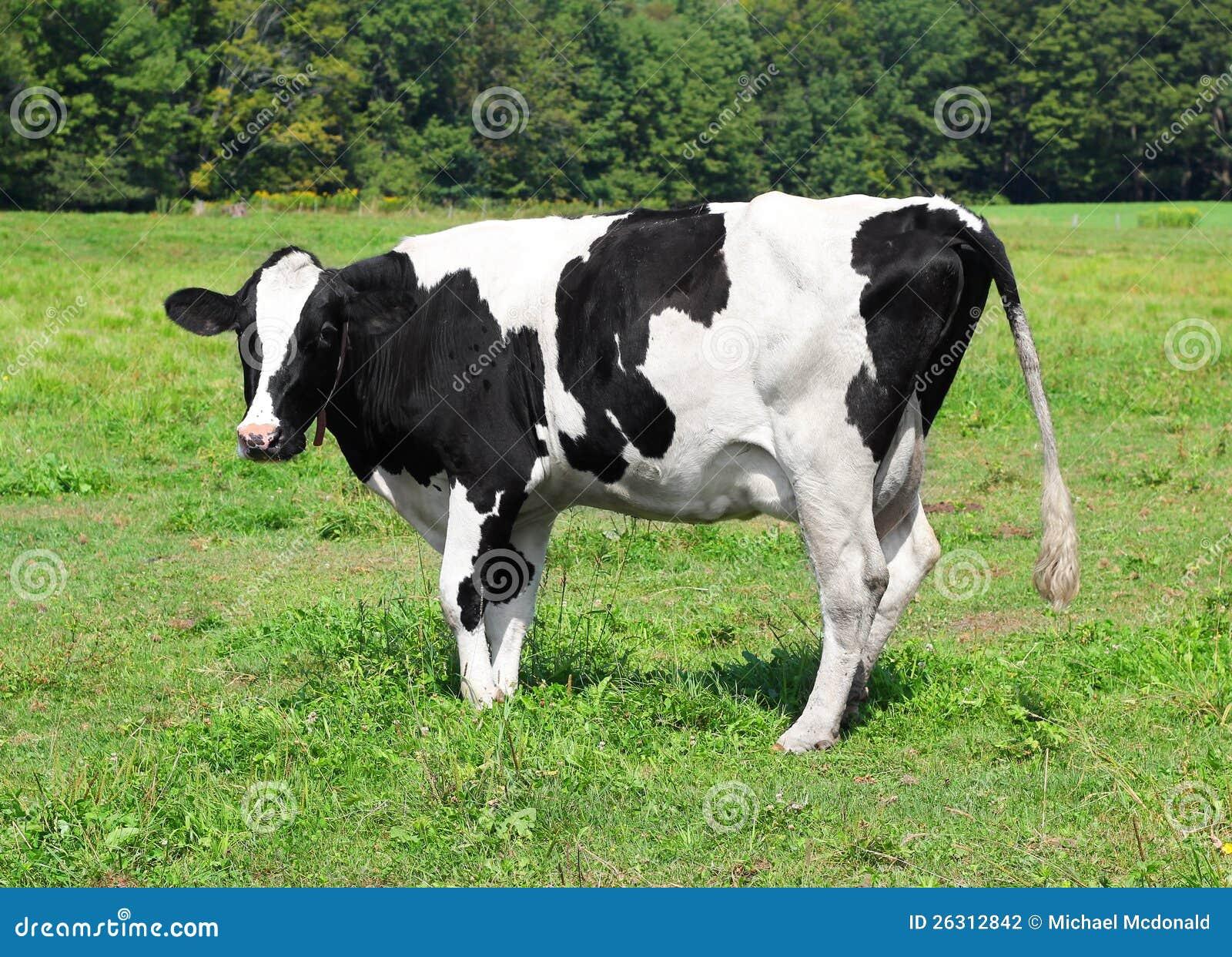 Vermont nabiału krowa