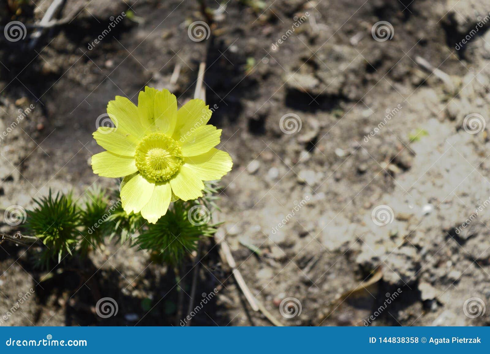 Vernalis amarelos de adonis completamente…