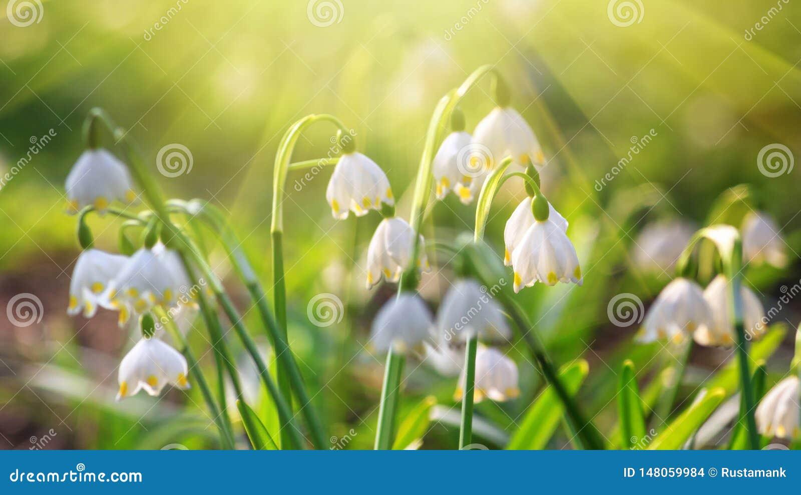 Vernum de Leucojum o copo de nieve de la primavera - flores blancas florecientes