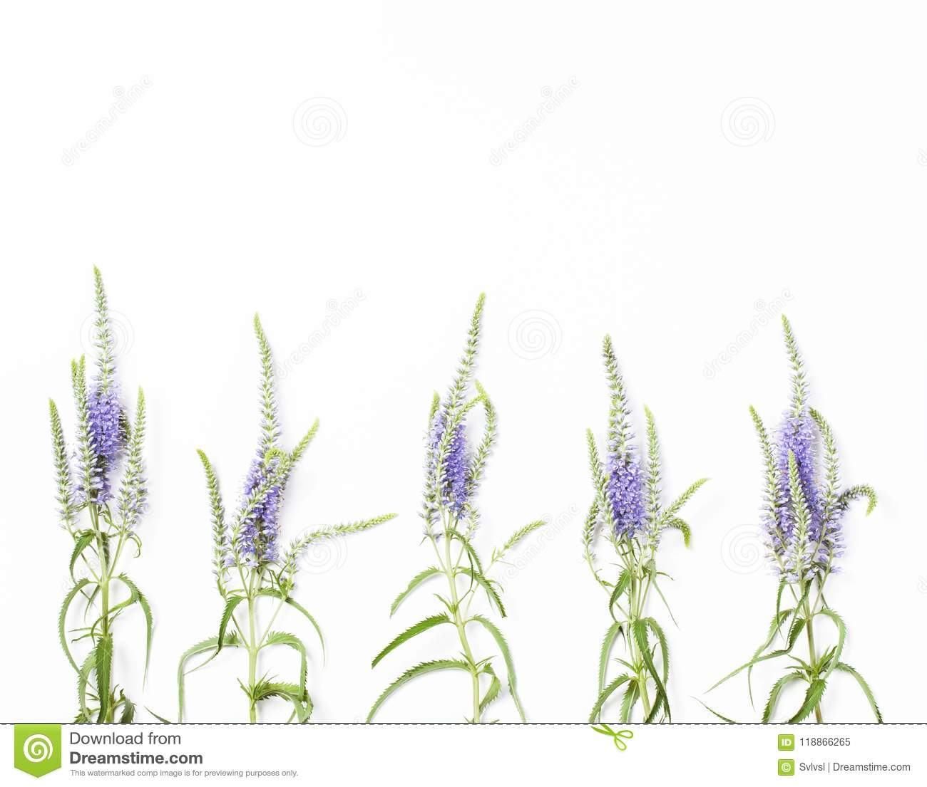 Veronica Flowers Isolated On White Background Top View Flat Lay