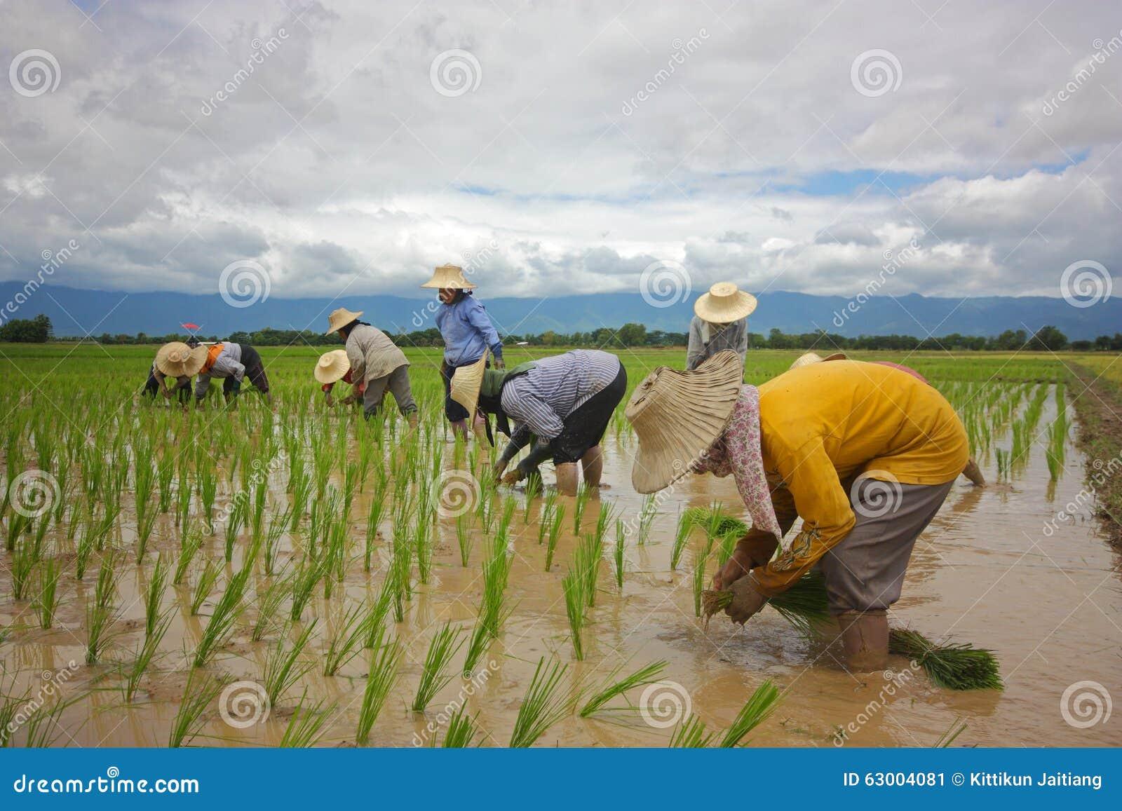 Verpflanzungsreislandwirt