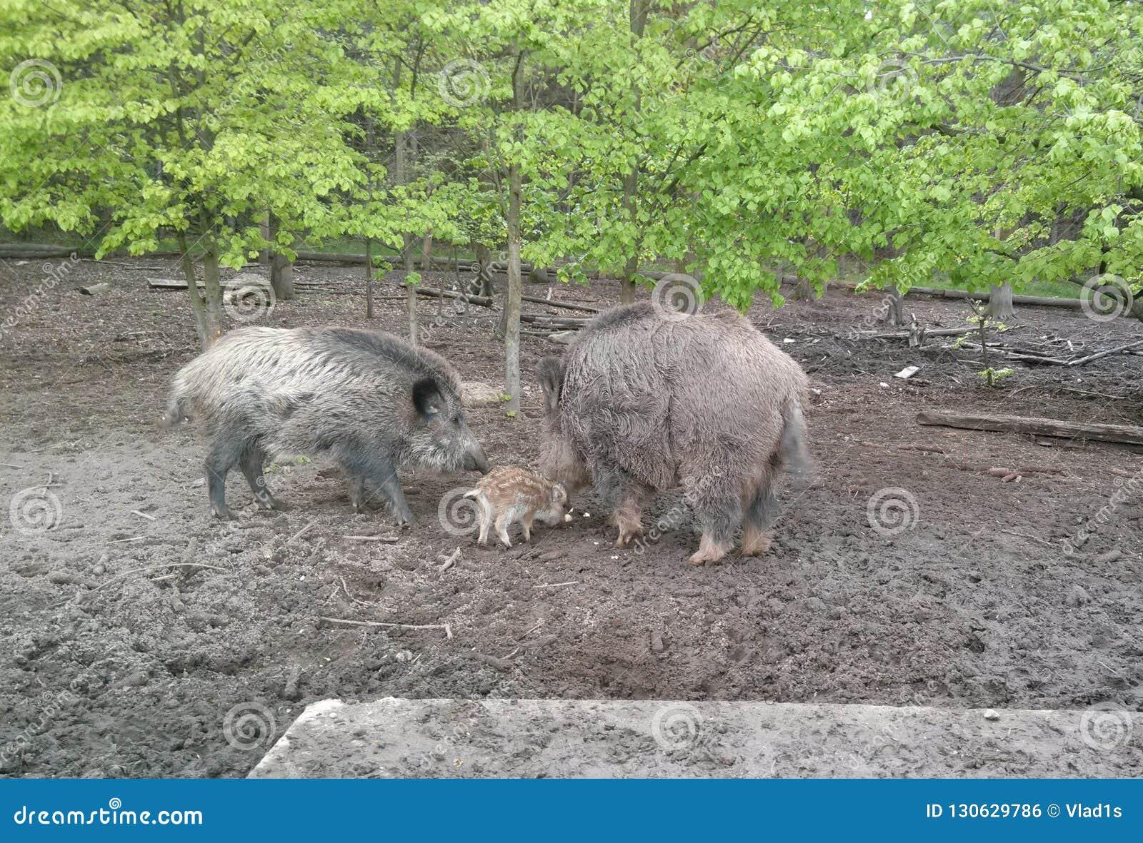 Verraco de la madre con su bebé en el bosque de Moravia del sur