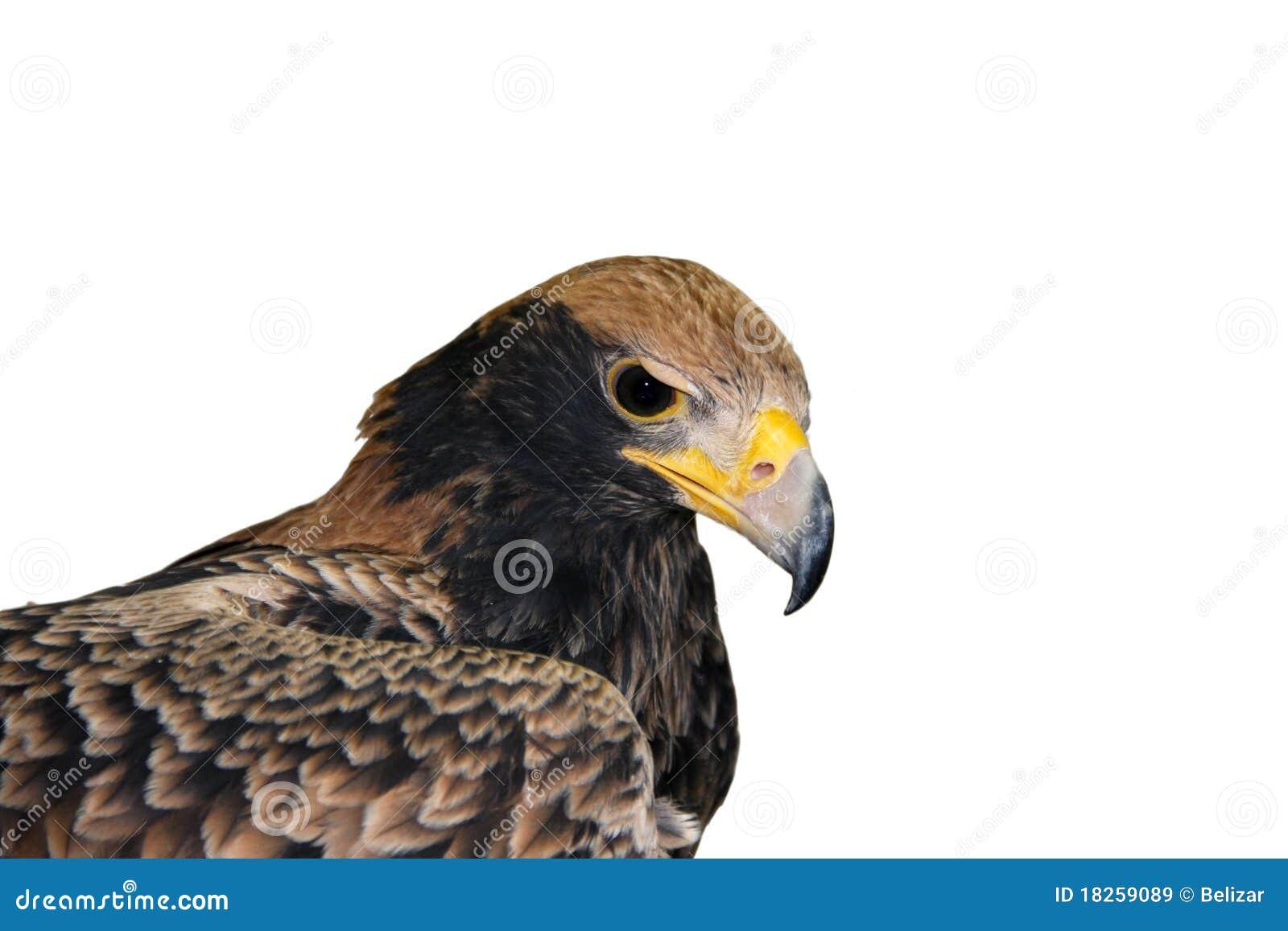 Verreaux eagle (Aquila verreauxii)