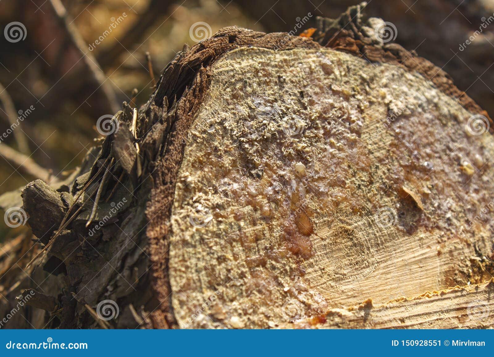 Vers de boom van de pijnboombesnoeiing in het bos met hars