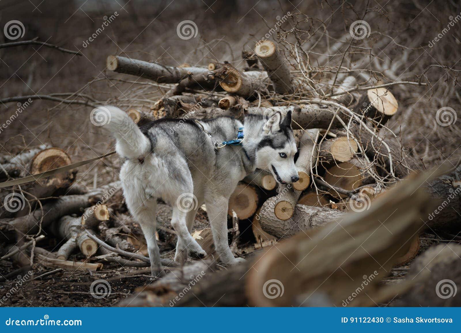 Vers enroués parmi les arbres sciés
