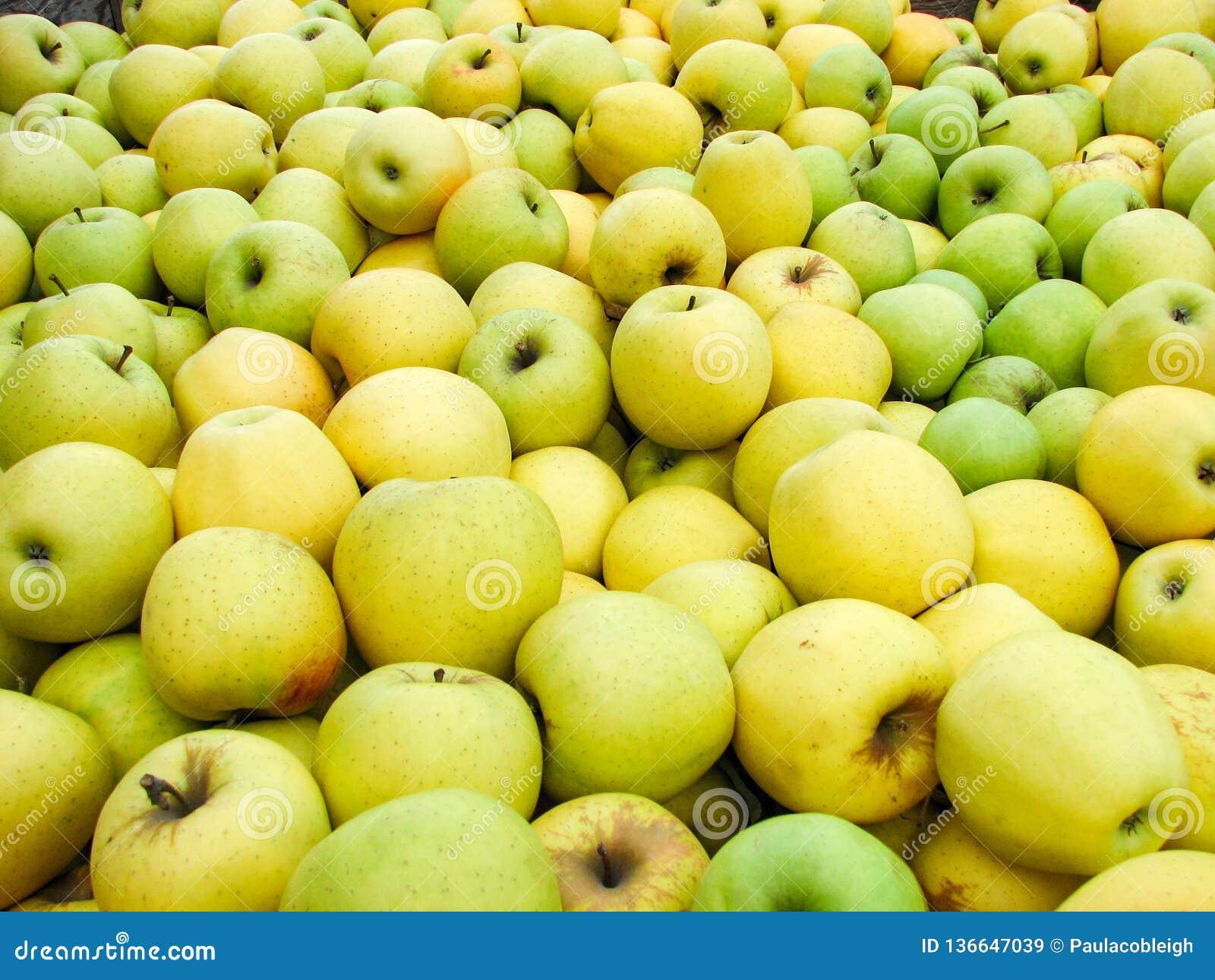 Vers geplukte Gouden - heerlijke appelen in een bak tijdens oogstseizoen