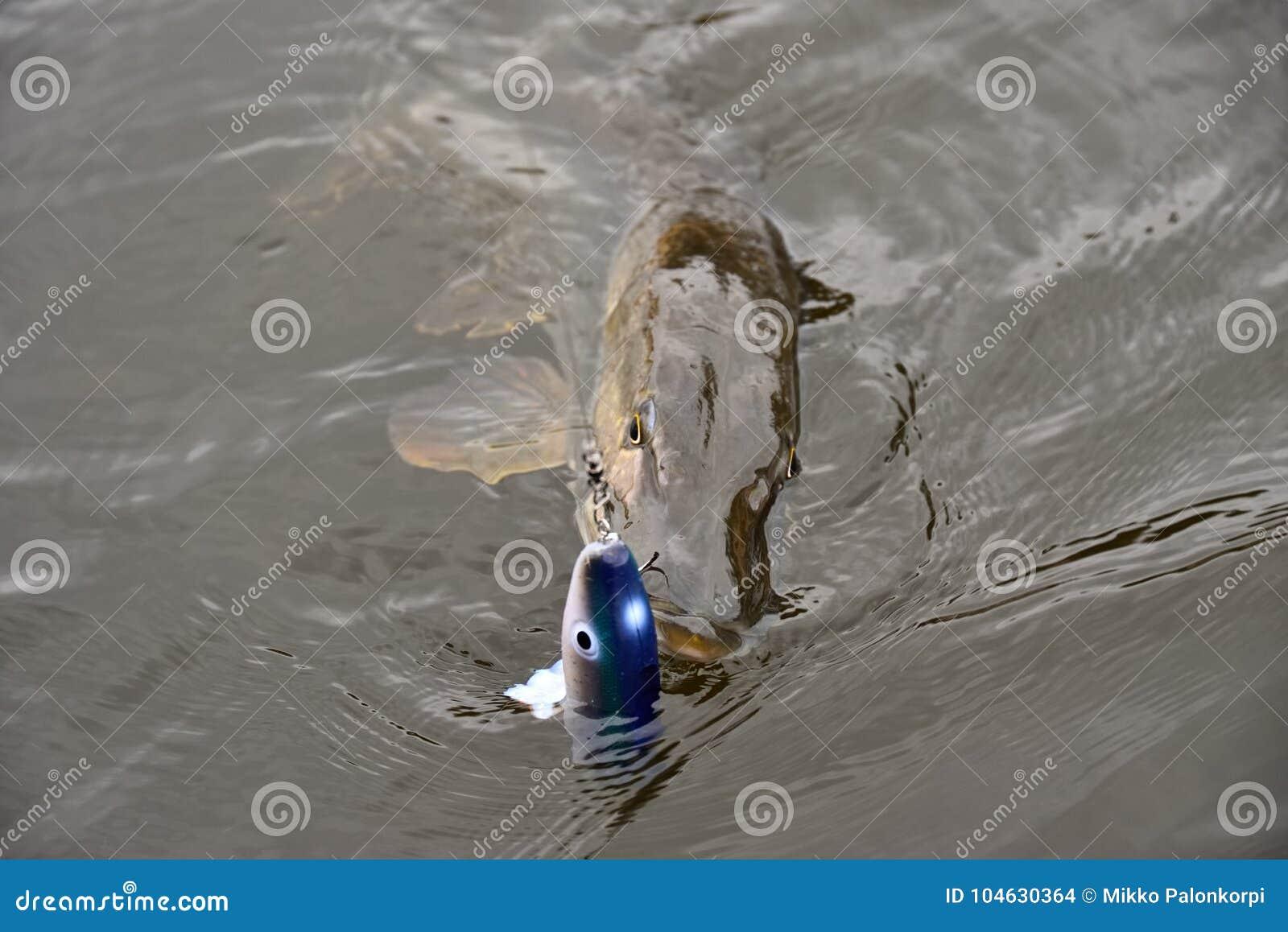 Download Vers Gevangen Snoeken Die Met Vastgehaakt Paddletail Snoekenkaliber Zwemmen In Zijn Mond Stock Foto - Afbeelding bestaande uit vers, daling: 104630364