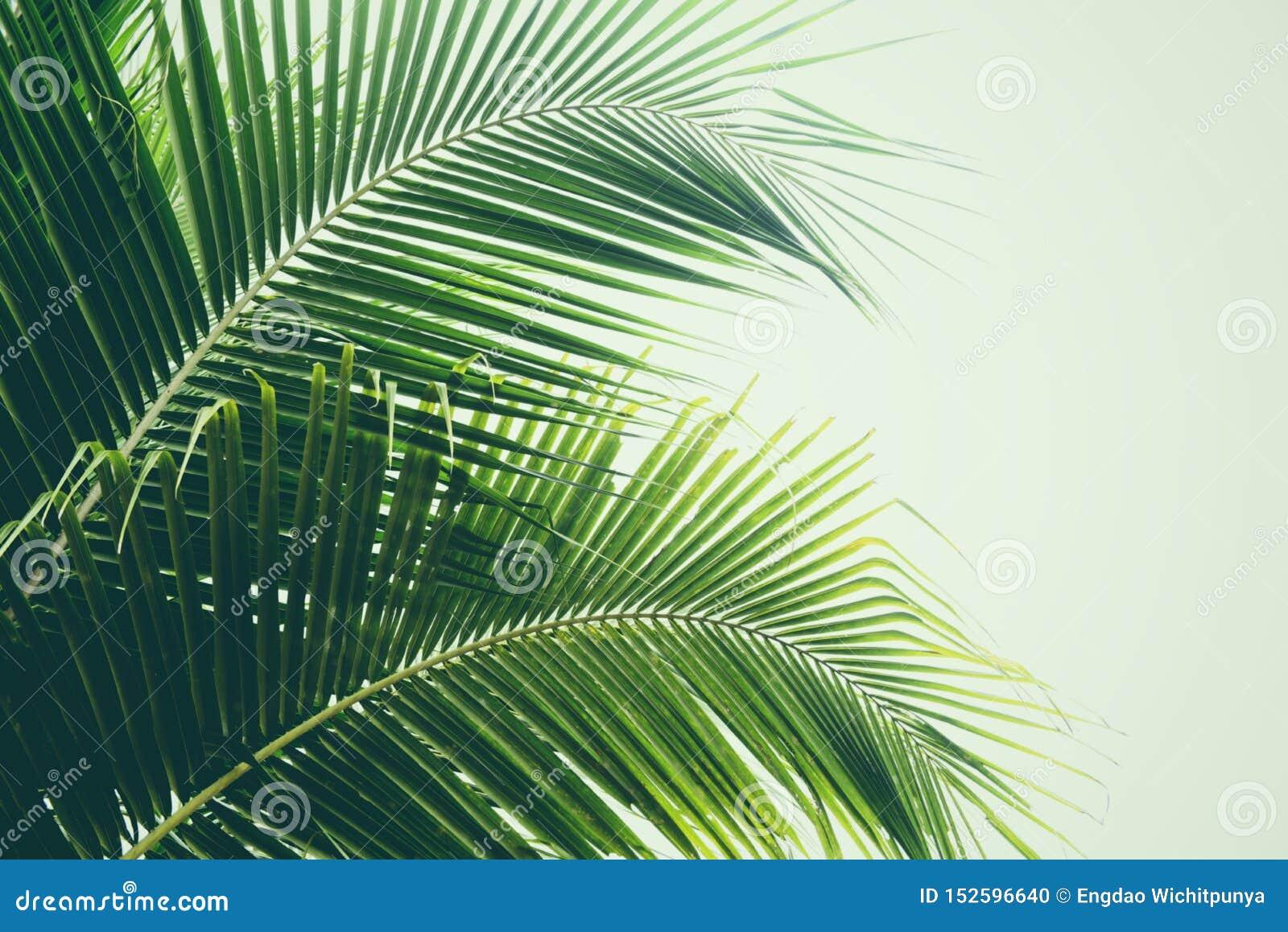 Vers groen palmblad op bladeren van de kokospalm de tropische installatie