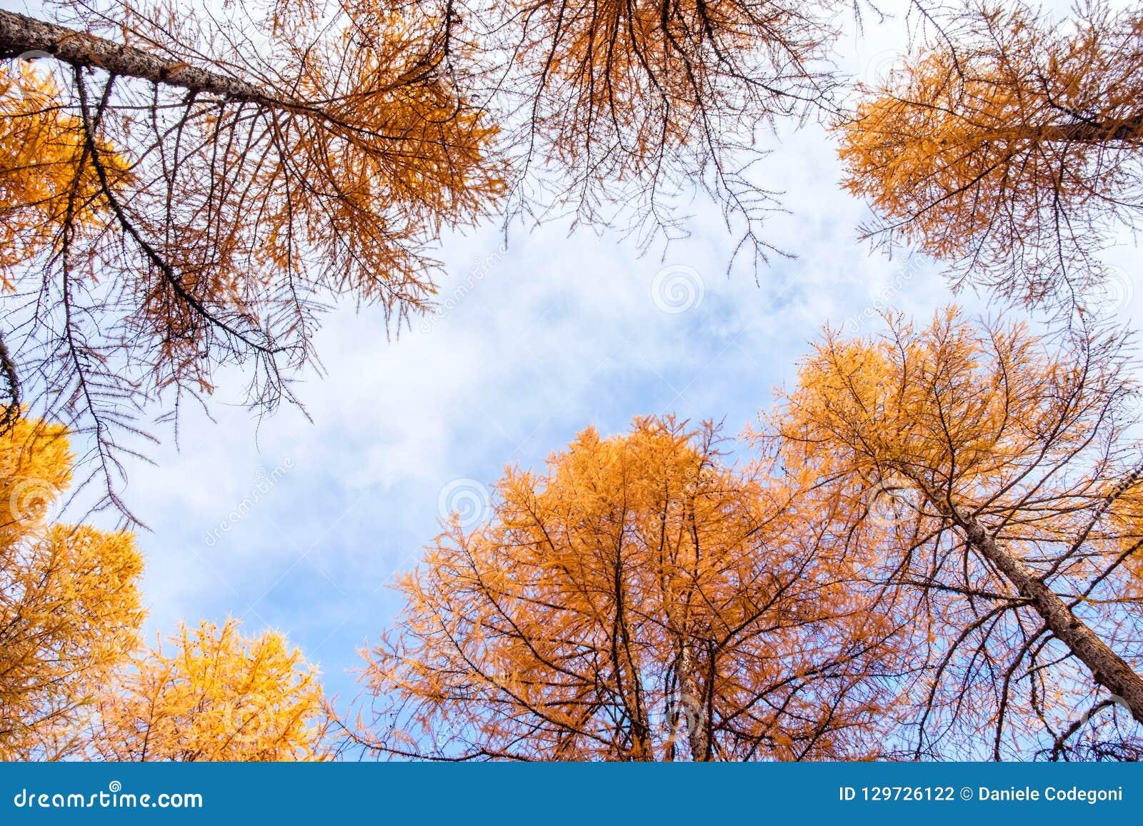 foto de Vers Le Haut De L'automne De Forêt De Ciel, Arbres De Mélèzes Du ...