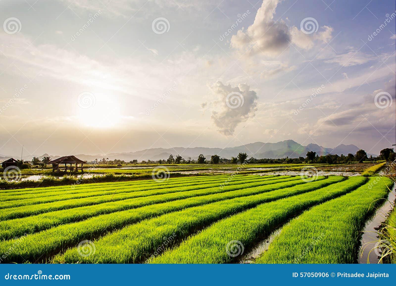 Vers padieveld op mooie zonsondergang