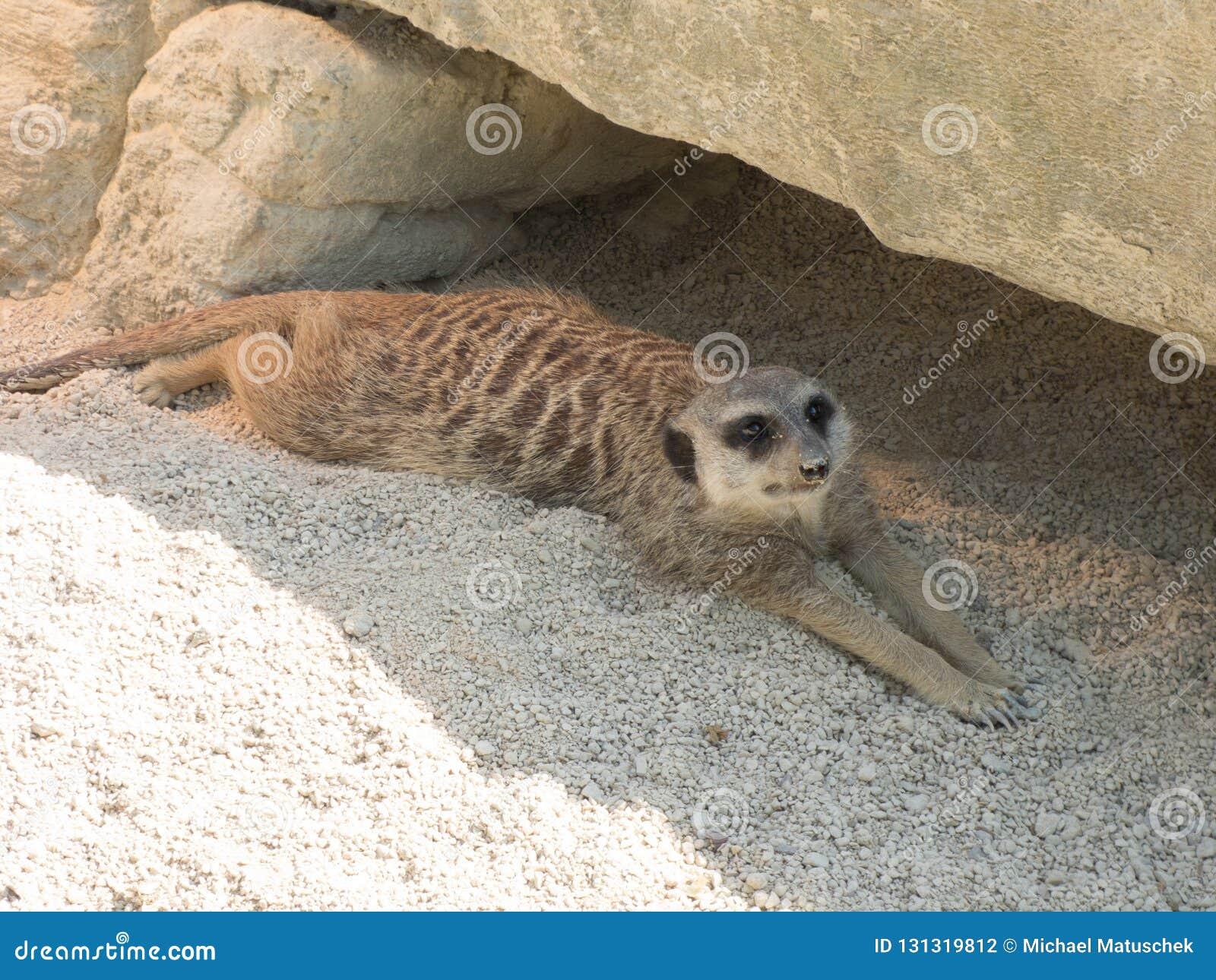 Verscheidene meerkats in de dierentuin, die op zand zitten
