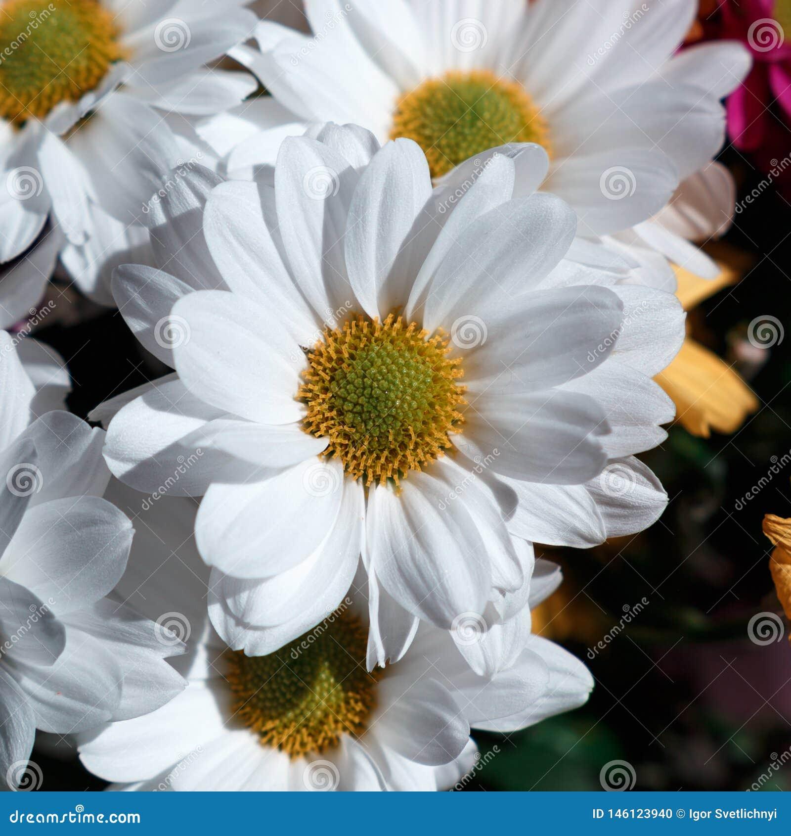 Verschiedene Ñ- hrysanthemums Blumen auf schwarzem backgroun