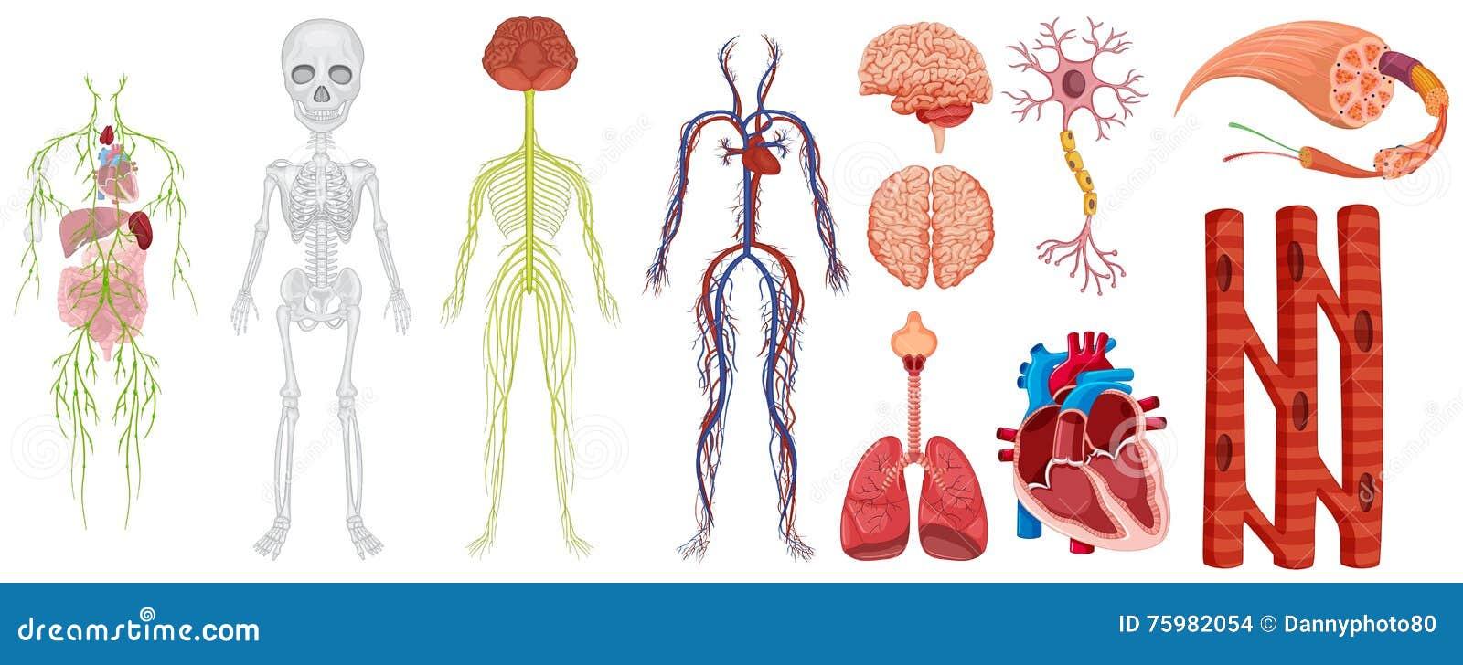 Verschiedene Systeme Im Menschlichen Körper Vektor Abbildung ...