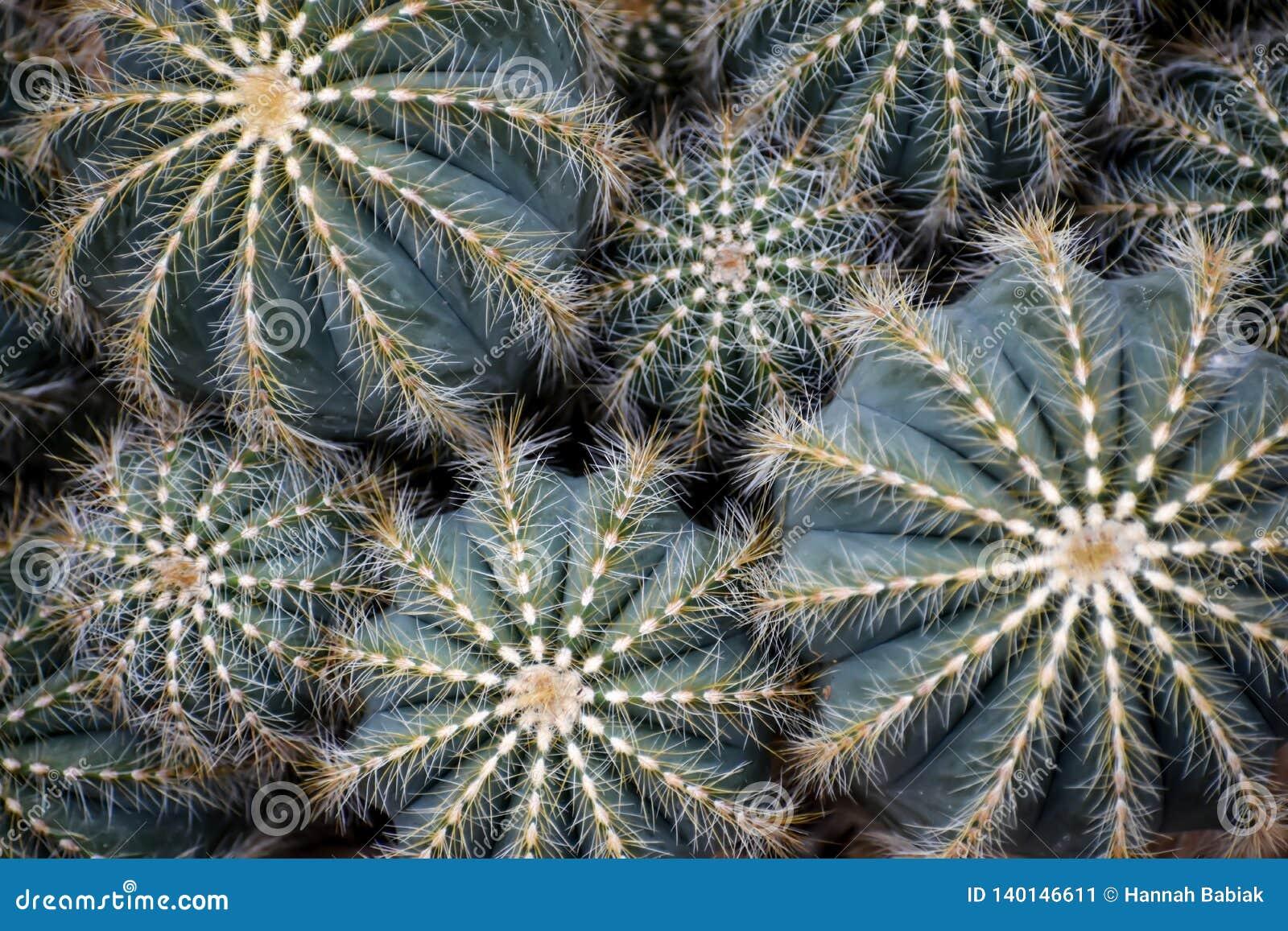Verschillende Met maat Succulents, Cactus met Pricklies