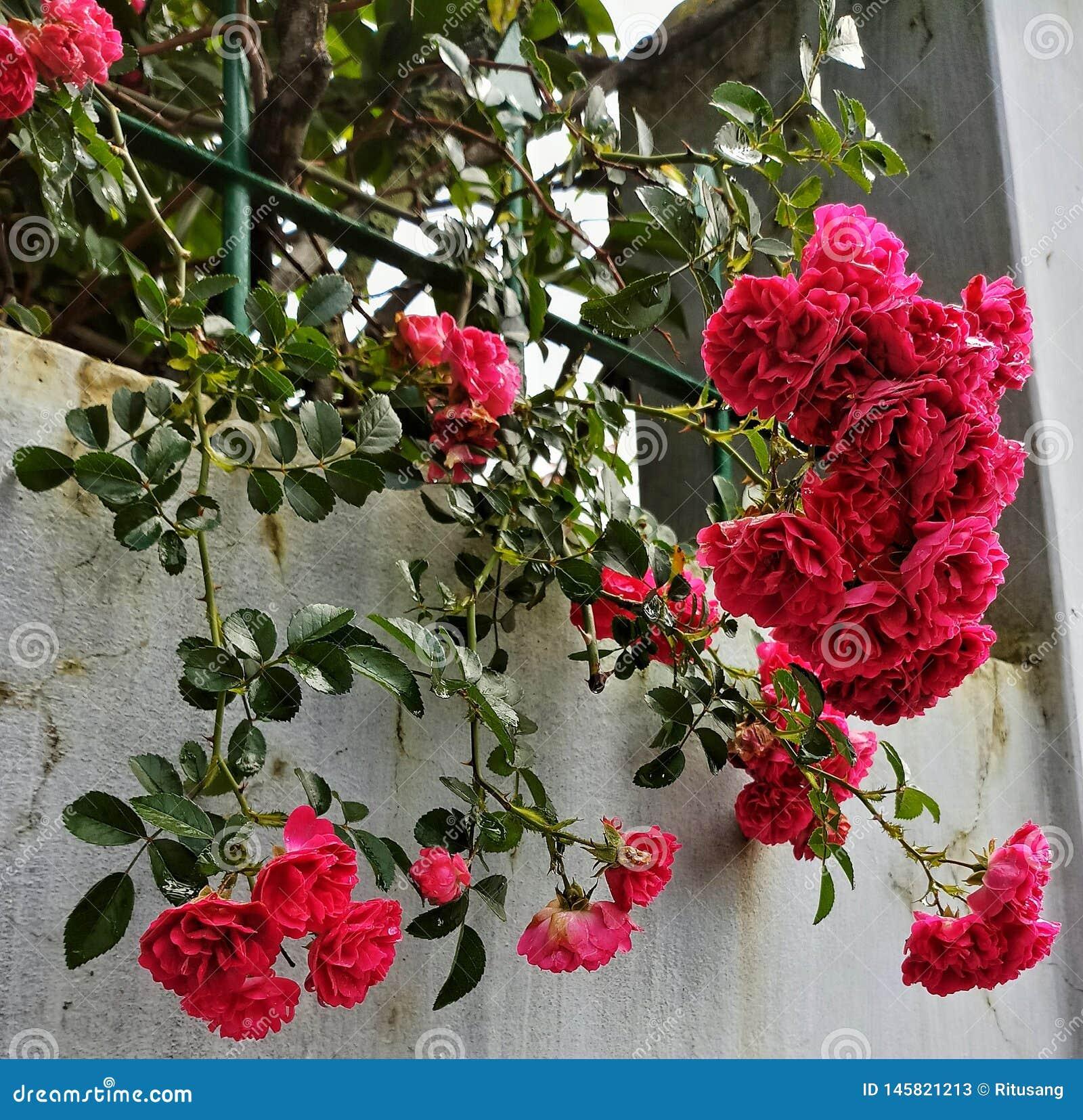 Verse bos van wilde rozen