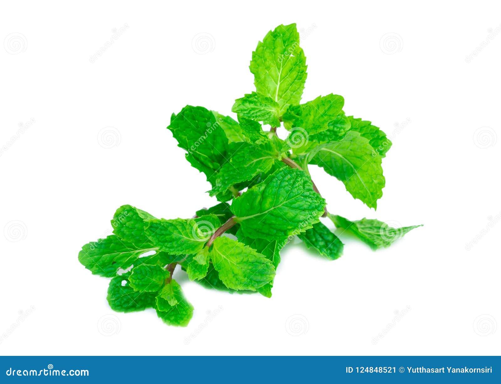 Verse die groene muntbladeren op de witte achtergrond worden geïsoleerd